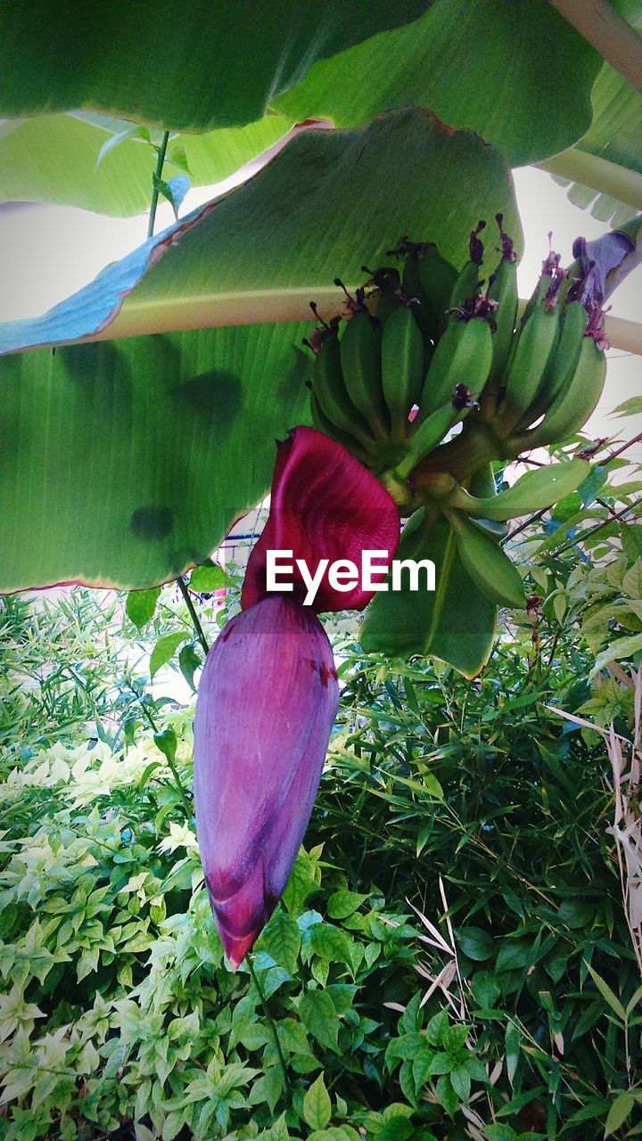 growth, banana tree, nature, flower, banana, no people, leaf, freshness, green color, plant, beauty in nature, food, fruit, day, outdoors, close-up