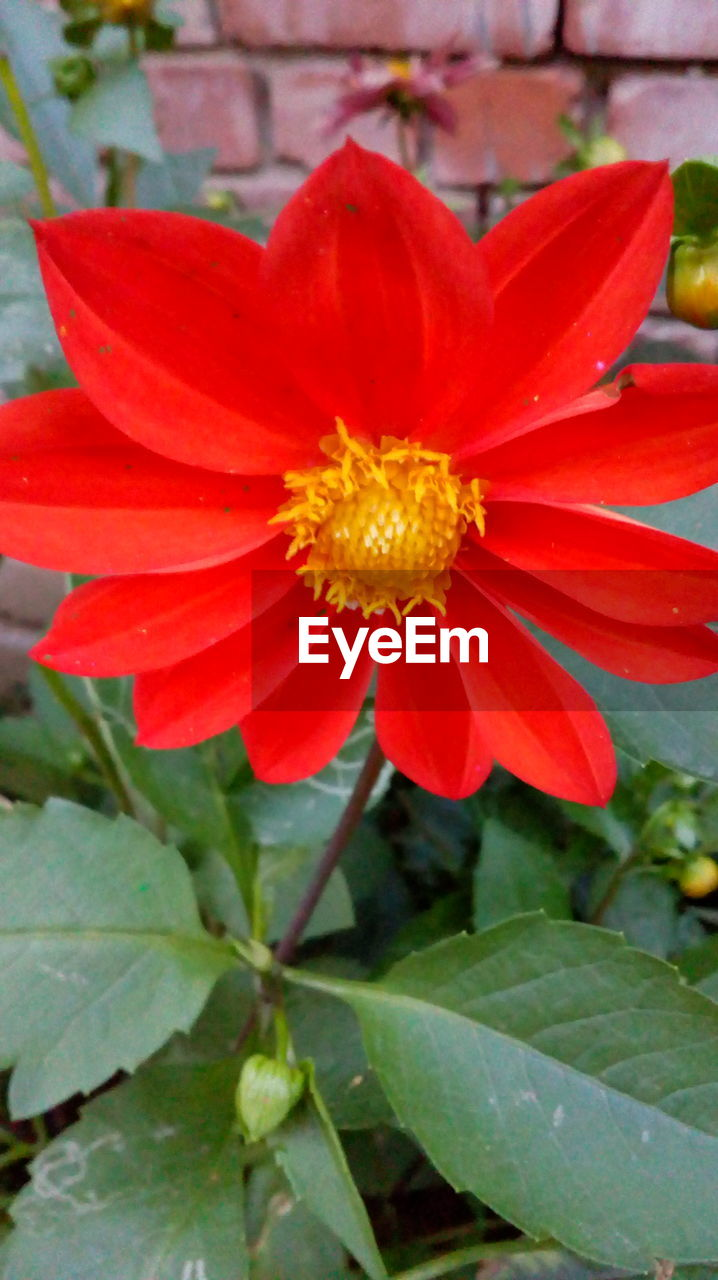 flower, petal, flower head, fragility, nature, growth, freshness, leaf, beauty in nature, plant, outdoors, day, close-up, no people, blooming, pollen, red