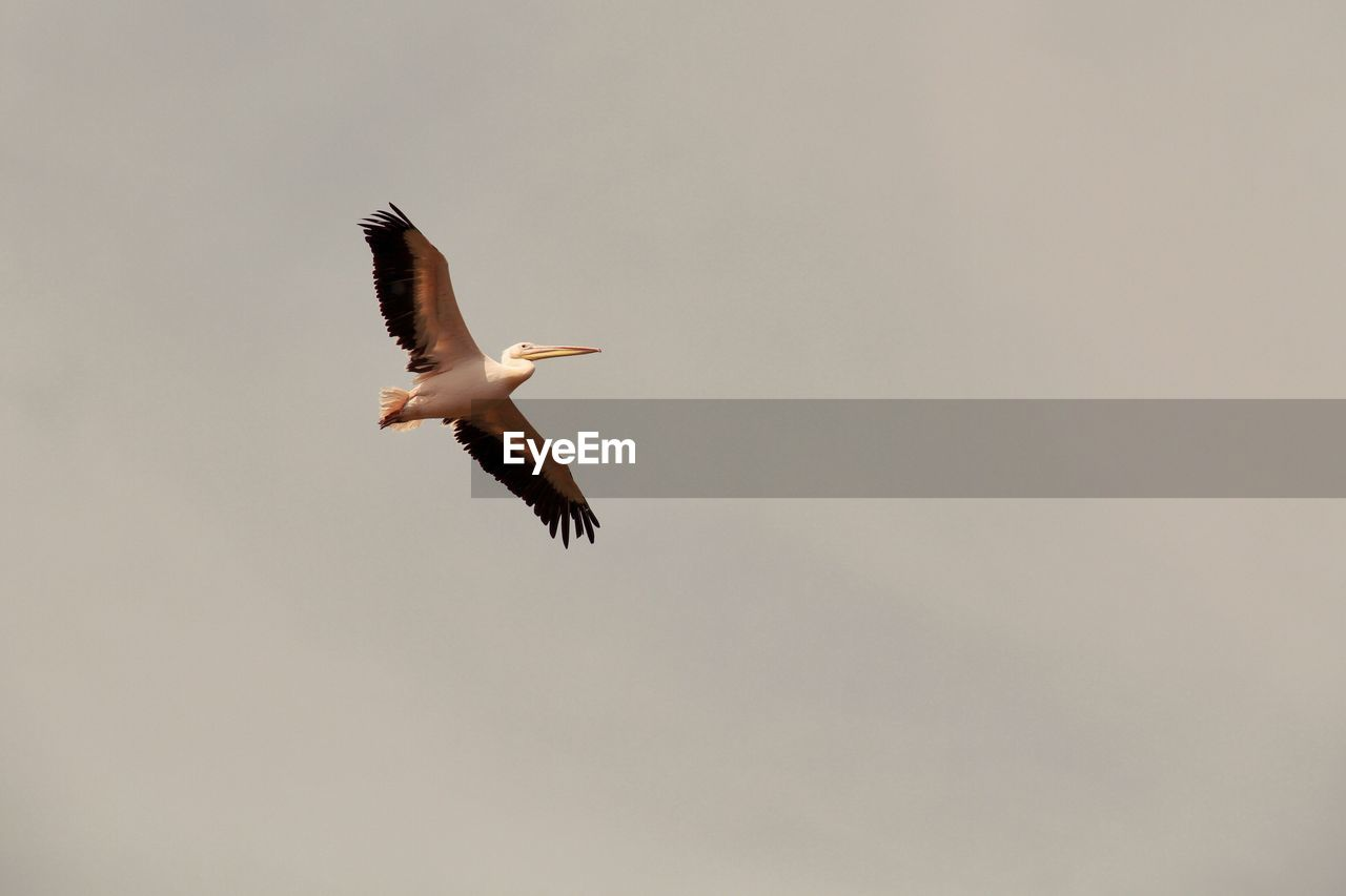 Low Angle View Of Pelican Flying Against Clear Sky