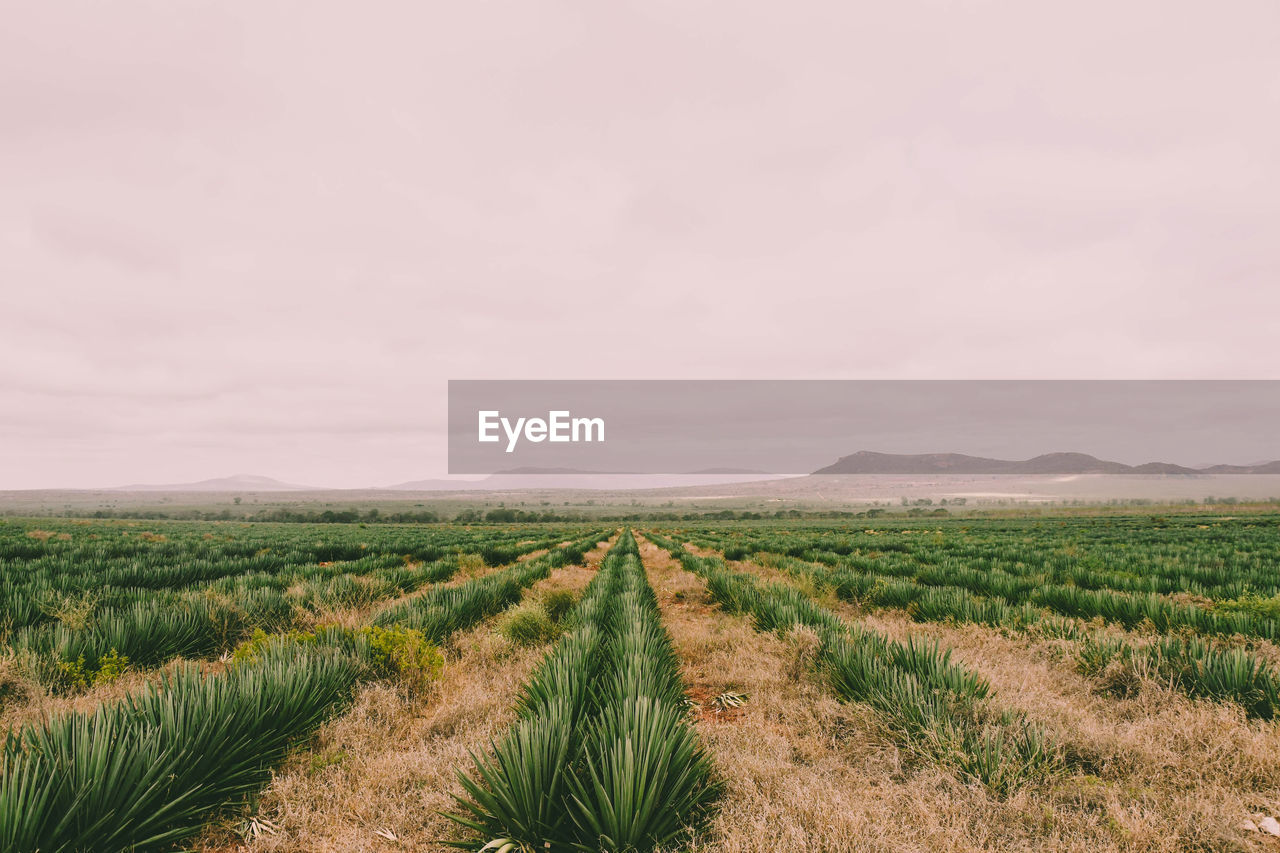 Scenic view of agricultural field sisal plantation against sky