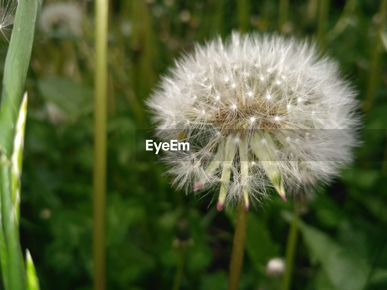 flower, growth, nature, fragility, dandelion, plant, beauty in nature, softness, freshness, flower head, uncultivated, focus on foreground, close-up, no people, outdoors, day