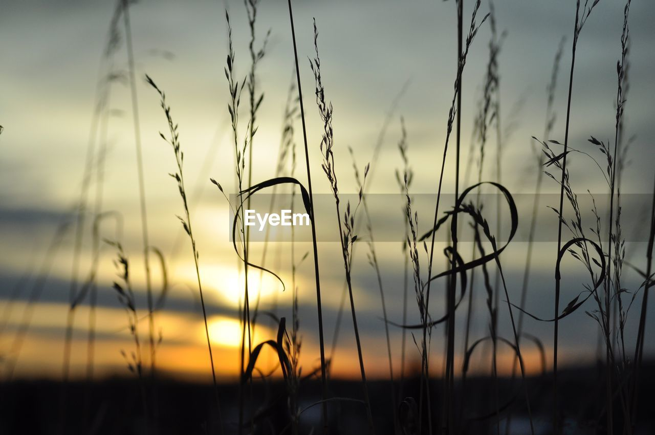 sky, plant, sunset, beauty in nature, growth, tranquility, focus on foreground, nature, no people, close-up, tranquil scene, cloud - sky, field, land, silhouette, scenics - nature, grass, outdoors, selective focus, agriculture, timothy grass, stalk, blade of grass