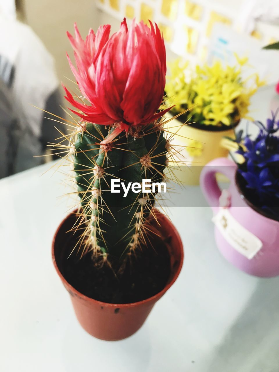 flowering plant, flower, plant, close-up, potted plant, nature, cactus, beauty in nature, freshness, succulent plant, growth, focus on foreground, no people, vulnerability, fragility, red, indoors, day, flower head, table, flower pot, houseplant