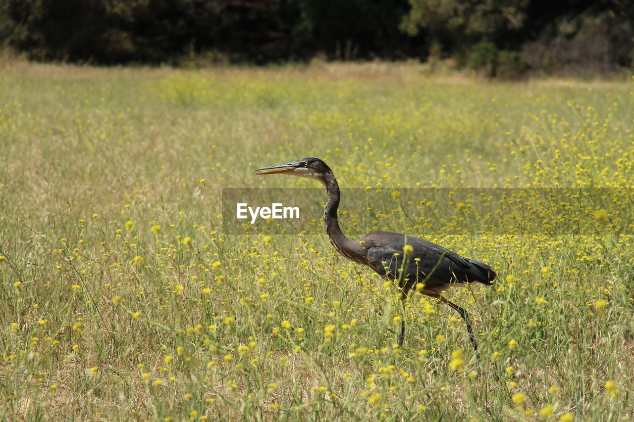 animal themes, animal, animal wildlife, vertebrate, animals in the wild, plant, one animal, field, bird, land, nature, day, green color, grass, no people, growth, flower, heron, beauty in nature, yellow