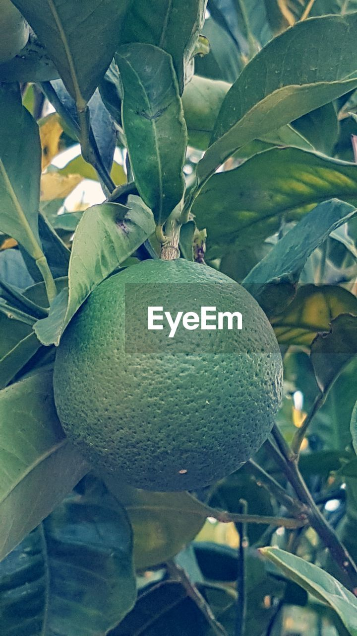 fruit, healthy eating, growth, food, leaf, plant part, green color, food and drink, plant, freshness, wellbeing, nature, close-up, no people, tree, fruit tree, beauty in nature, citrus fruit, day, outdoors, ripe