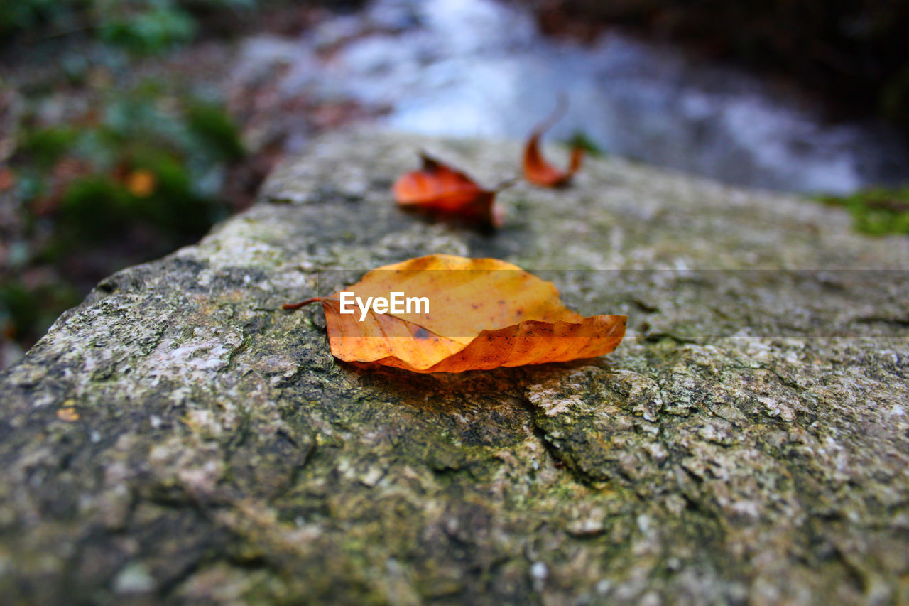 CLOSE-UP OF DRY MAPLE LEAF ON FALLEN AUTUMN