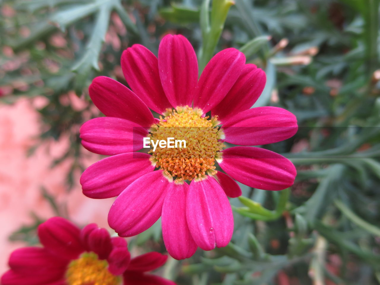 flower, petal, growth, nature, blooming, beauty in nature, fragility, flower head, pink color, freshness, plant, pollen, no people, outdoors, day, zinnia, close-up