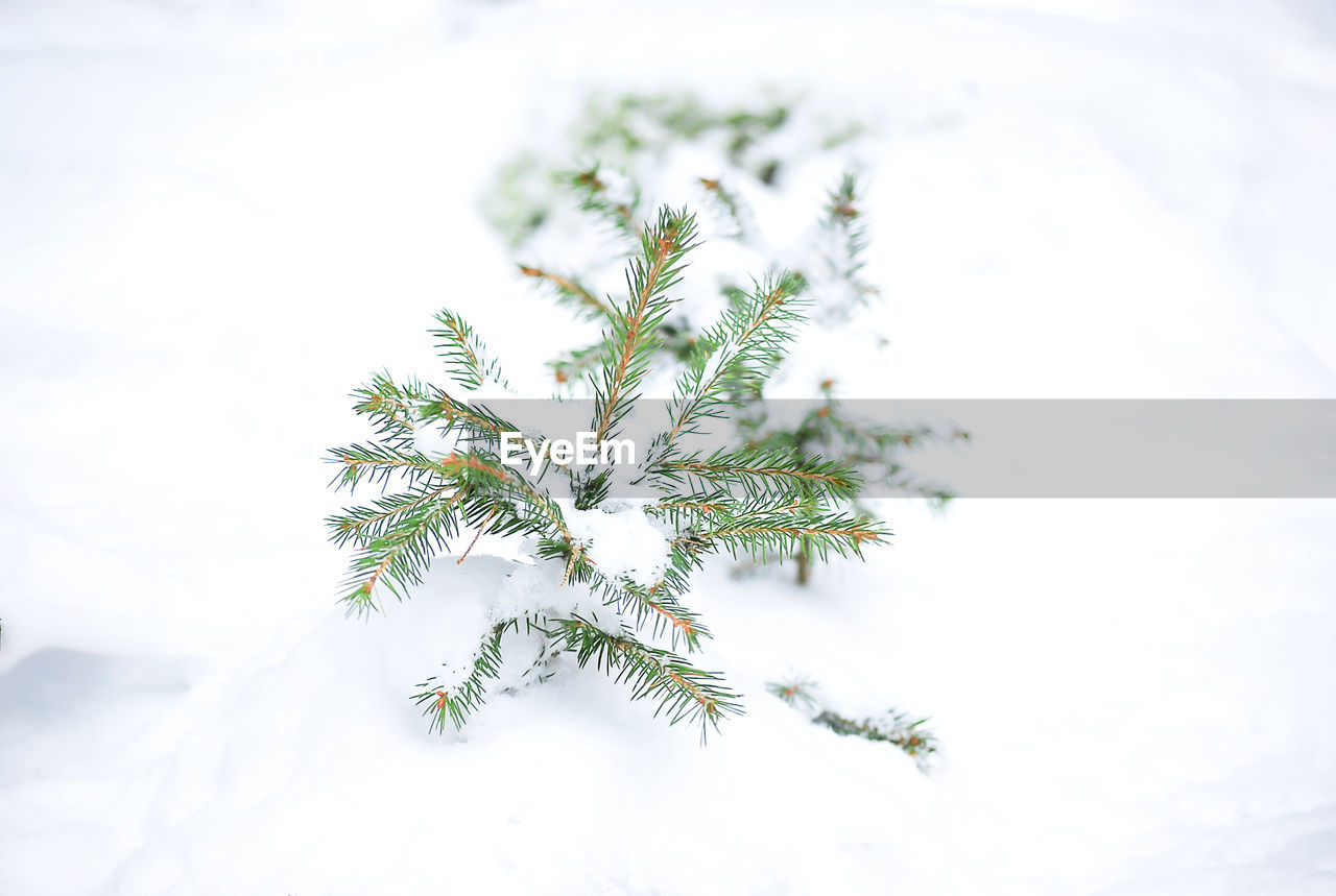 plant, nature, beauty in nature, growth, no people, day, close-up, green color, snow, white color, cold temperature, winter, sky, outdoors, tranquility, tree, leaf, focus on foreground, selective focus, fir tree
