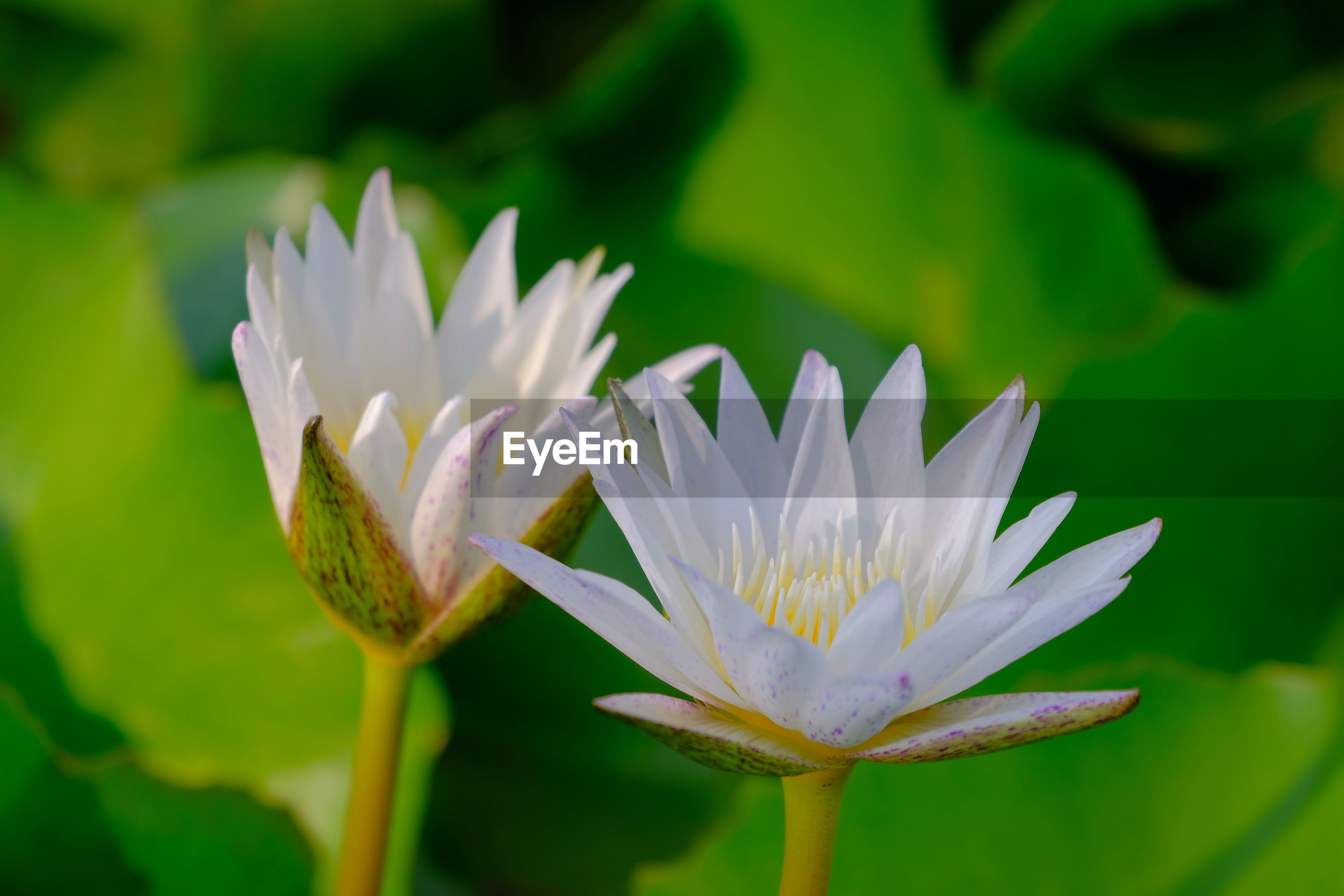 CLOSE-UP OF WATER LILY ON WHITE FLOWER