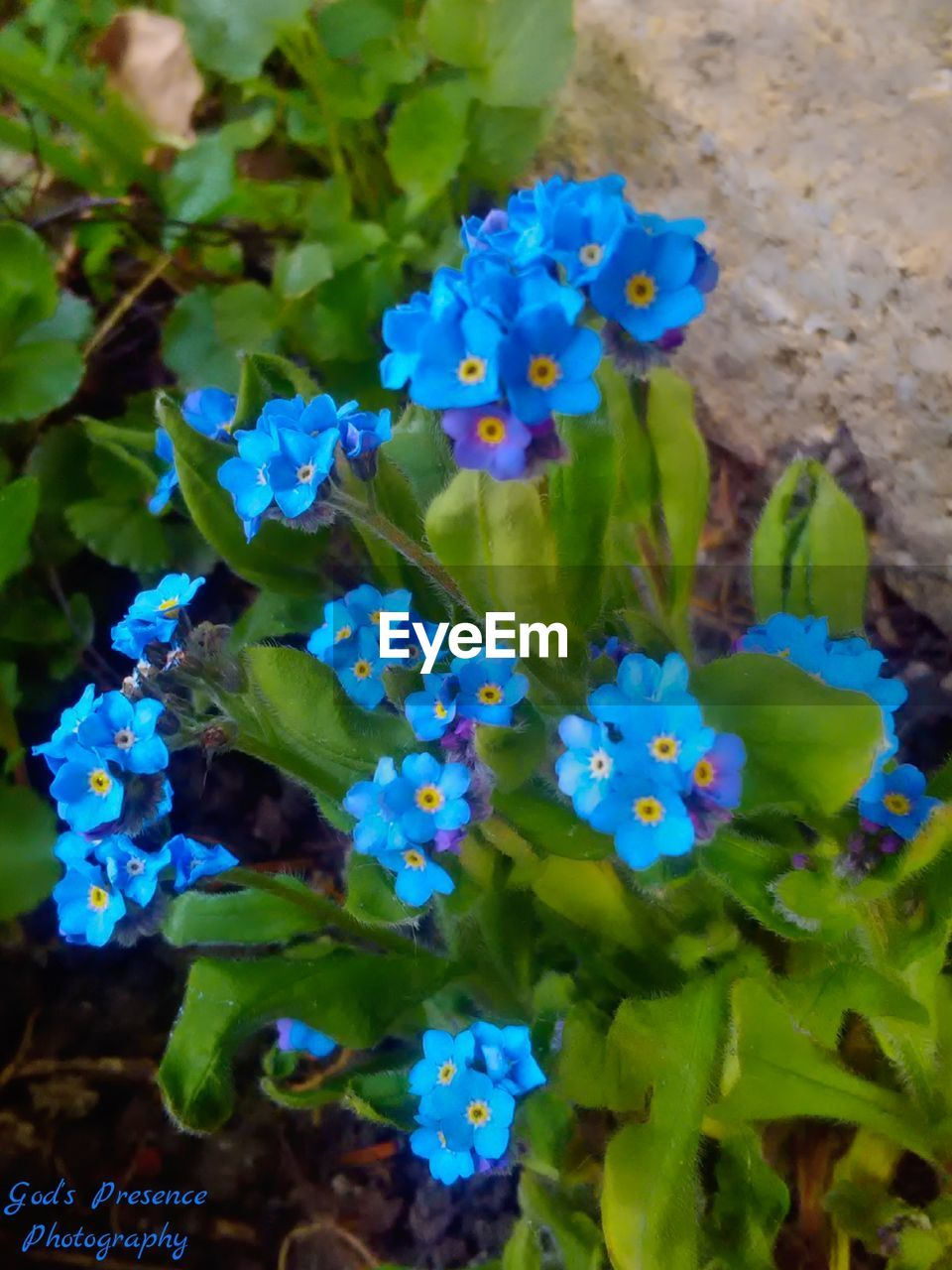 flower, plant, growth, fragility, green color, nature, freshness, beauty in nature, day, outdoors, no people, blue, petal, hydrangea, leaf, flower head, close-up, blooming