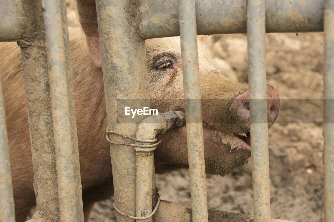 mammal, animal themes, animal, one animal, domestic animals, animals in captivity, animal body part, animal wildlife, vertebrate, no people, livestock, day, cage, pets, domestic, pig, zoo, barrier, fence, boundary, outdoors, snout, herbivorous, animal head, animal nose