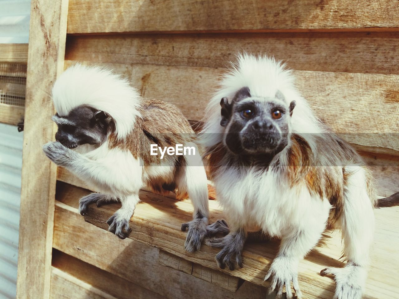 mammal, animal, animal themes, domestic, pets, domestic animals, dog, canine, group of animals, vertebrate, wood - material, two animals, no people, young animal, indoors, portrait, looking at camera, puppy, day, animal family, shih tzu, small