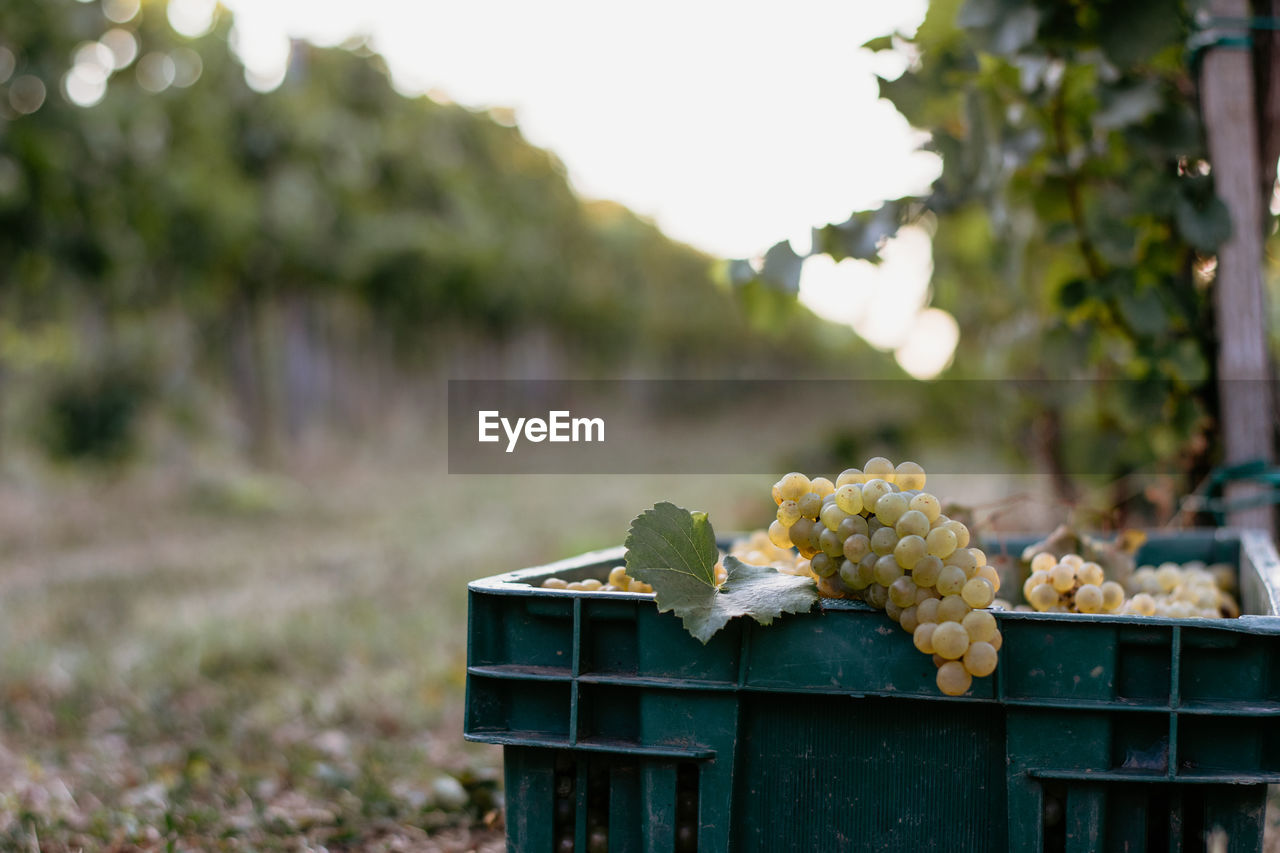 food and drink, food, focus on foreground, freshness, healthy eating, day, plant, growth, nature, close-up, wellbeing, no people, fruit, outdoors, agriculture, green color, selective focus, grape, vineyard, farm, winemaking