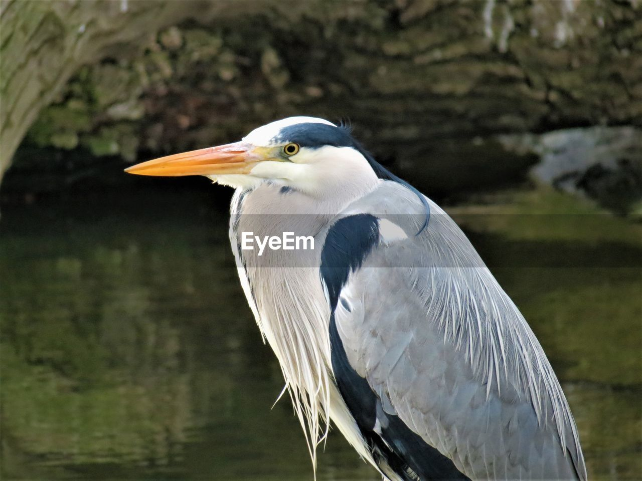 bird, animals in the wild, animal themes, vertebrate, animal, animal wildlife, one animal, focus on foreground, heron, beak, no people, day, water bird, nature, close-up, side view, white color, outdoors, water, looking