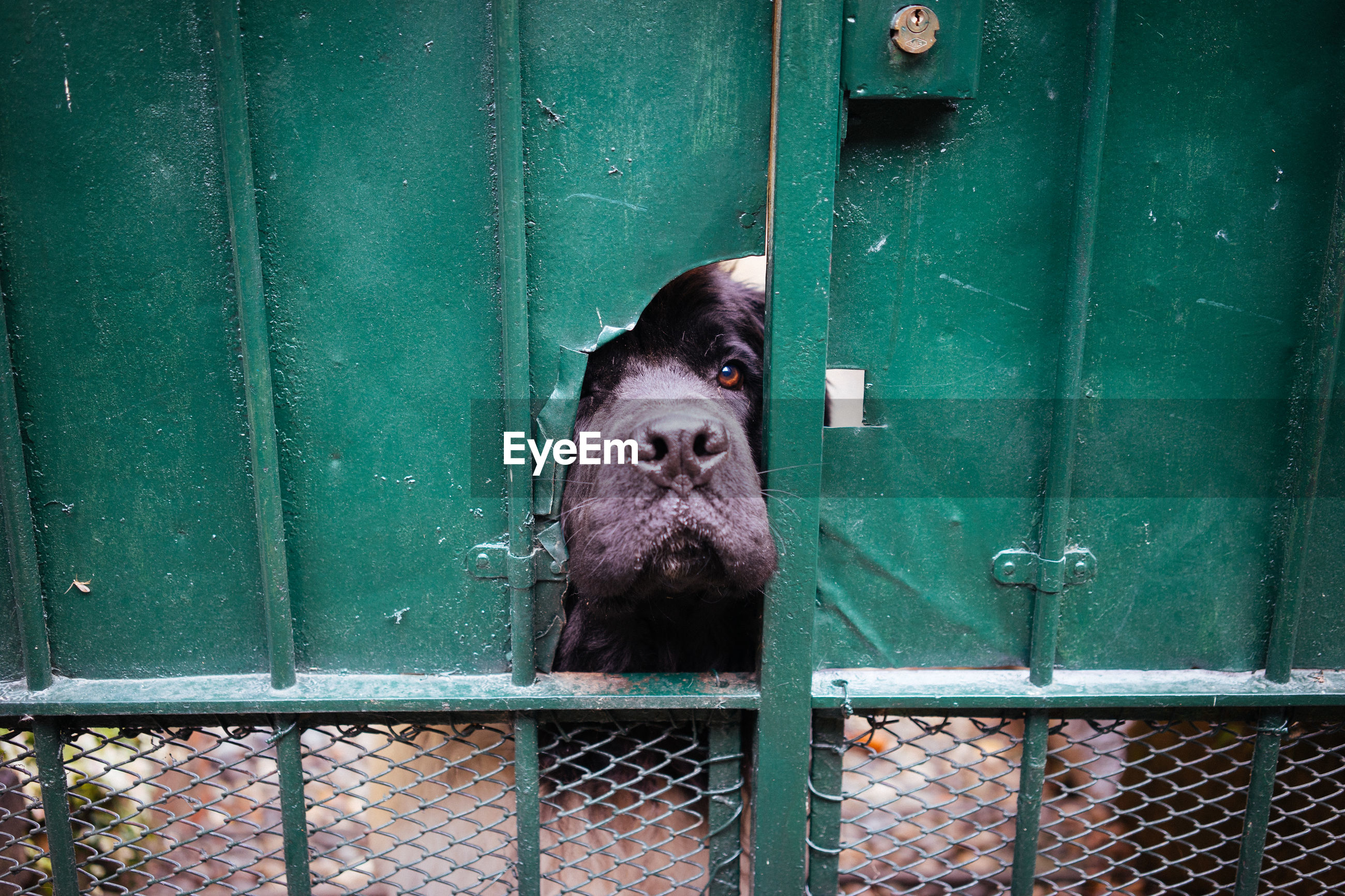 Close-up of black dog looking through broken metal gate
