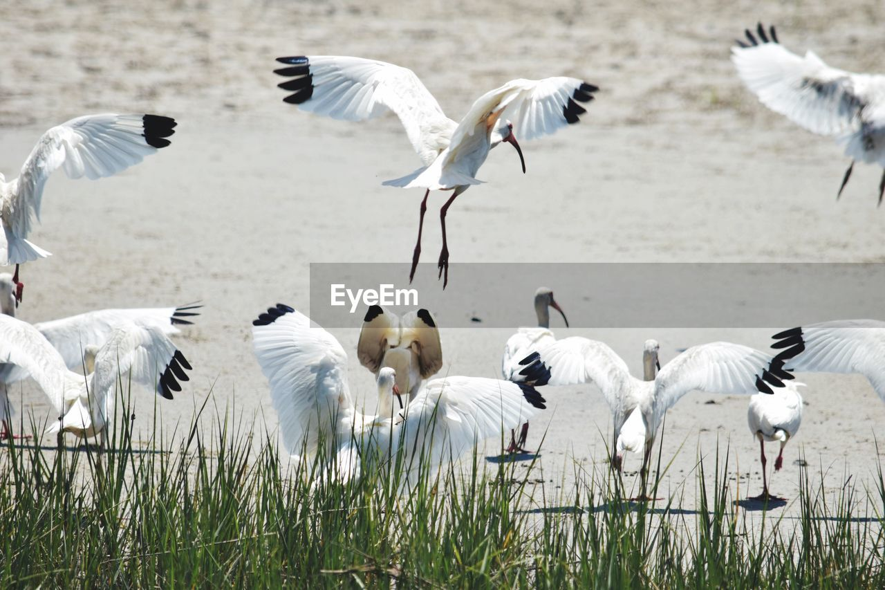 animal themes, group of animals, animals in the wild, bird, animal, animal wildlife, vertebrate, large group of animals, white color, no people, flying, day, grass, spread wings, nature, beauty in nature, plant, water, lake, land, flock of birds