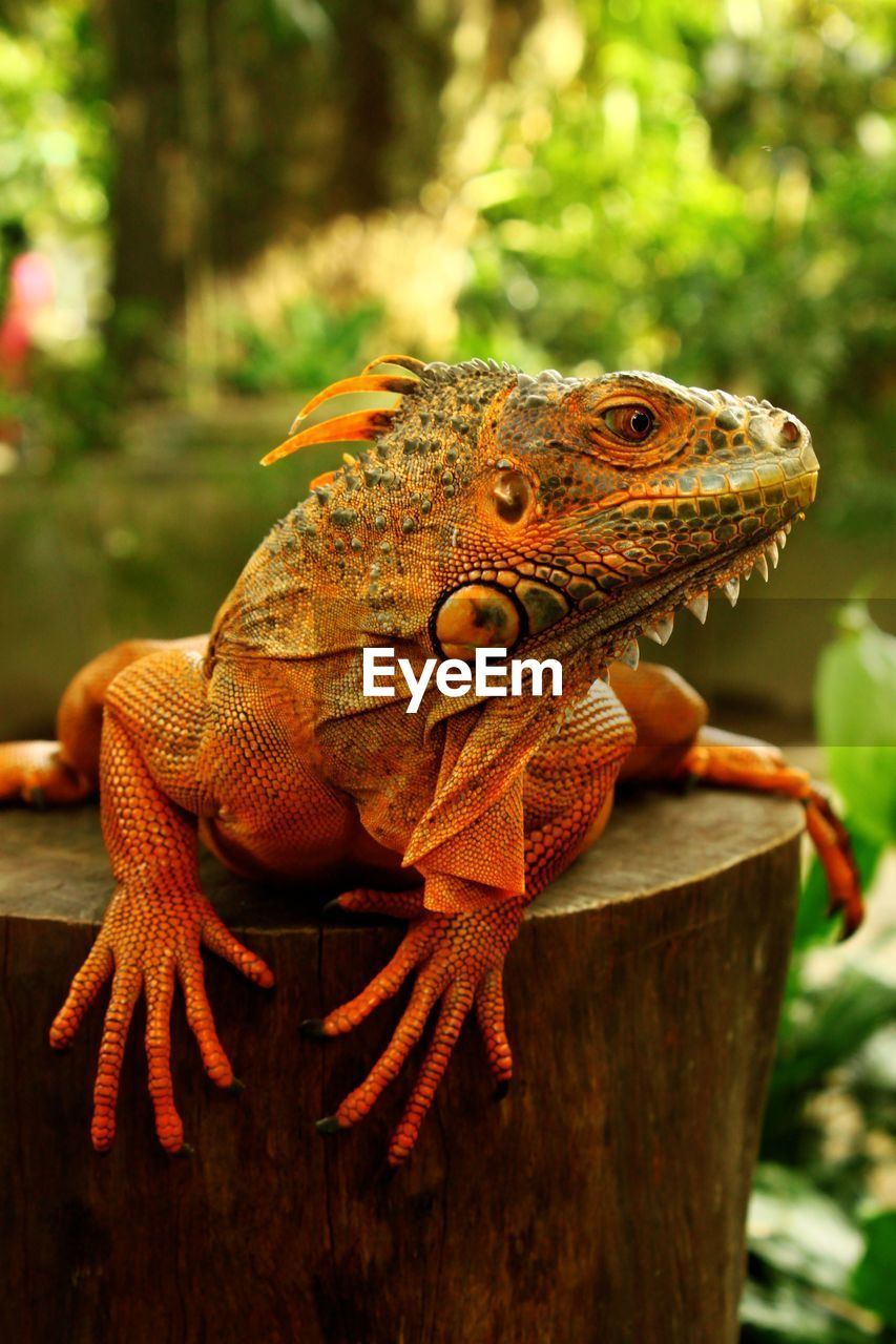 animal themes, animal, vertebrate, reptile, animal wildlife, one animal, animals in the wild, lizard, focus on foreground, close-up, no people, nature, day, tree, animal body part, side view, plant, outdoors, bearded dragon, looking away, animal head, iguana, animal scale