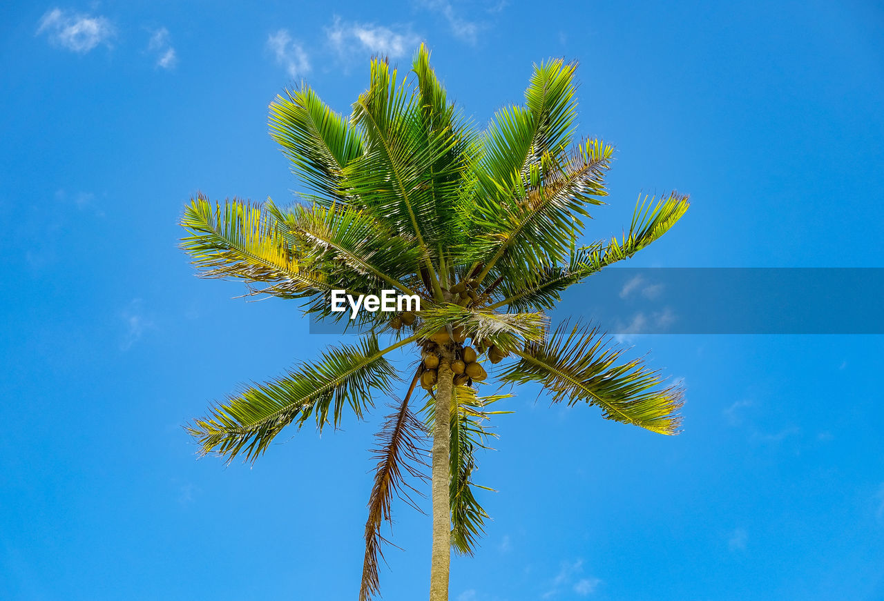growth, plant, sky, palm tree, tree, tropical climate, low angle view, blue, nature, beauty in nature, day, no people, cloud - sky, green color, leaf, tall - high, palm leaf, outdoors, tranquility, coconut palm tree, tropical tree