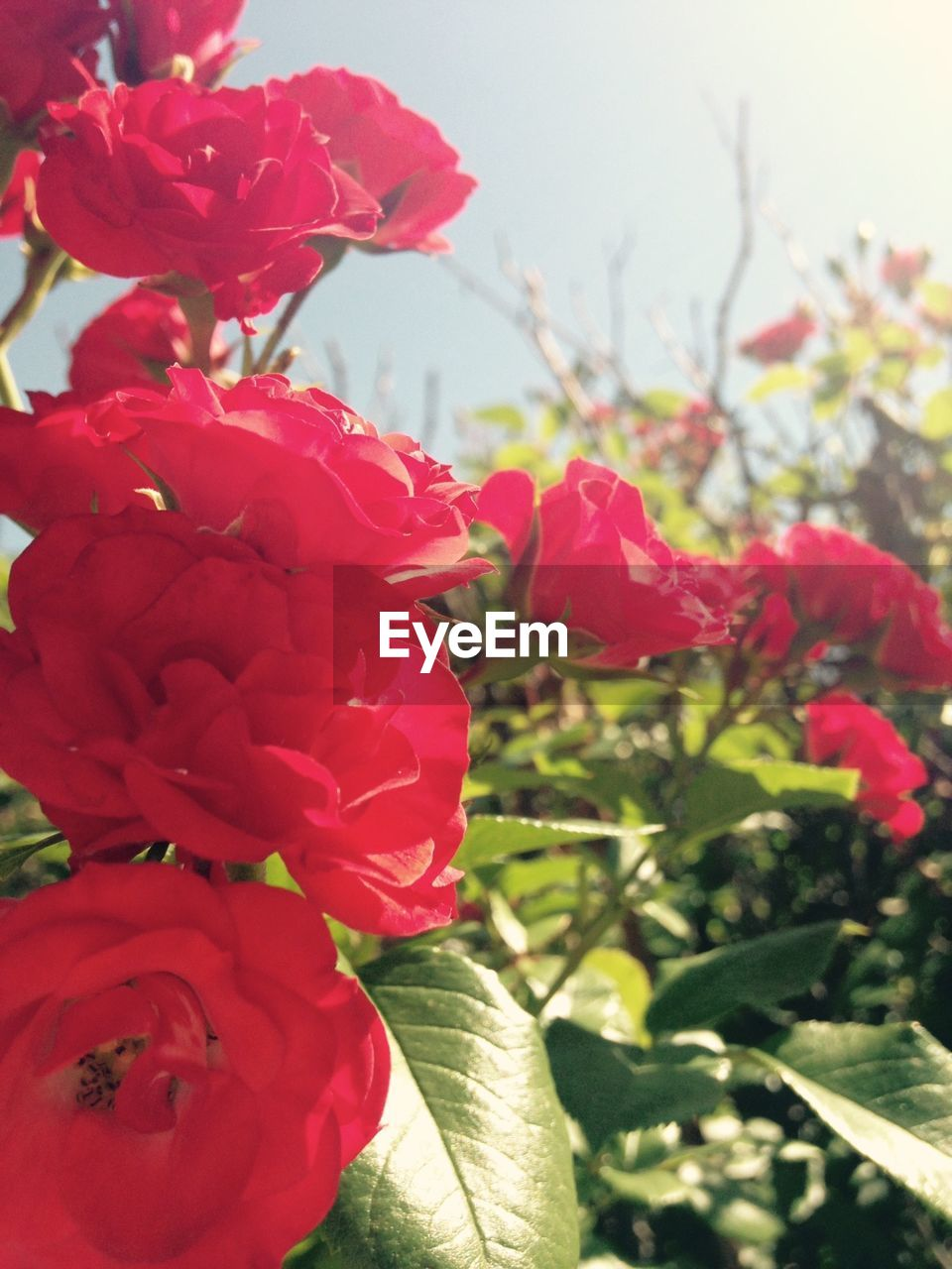 flower, beauty in nature, nature, petal, growth, red, fragility, freshness, plant, no people, flower head, day, outdoors, blooming, close-up