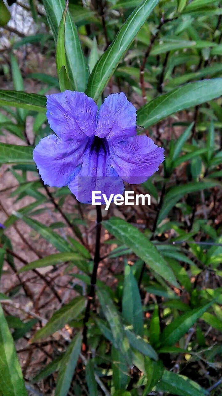 flower, fragility, nature, beauty in nature, growth, petal, flower head, purple, plant, green color, outdoors, day, freshness, no people, close-up, leaf, blooming, iris - plant
