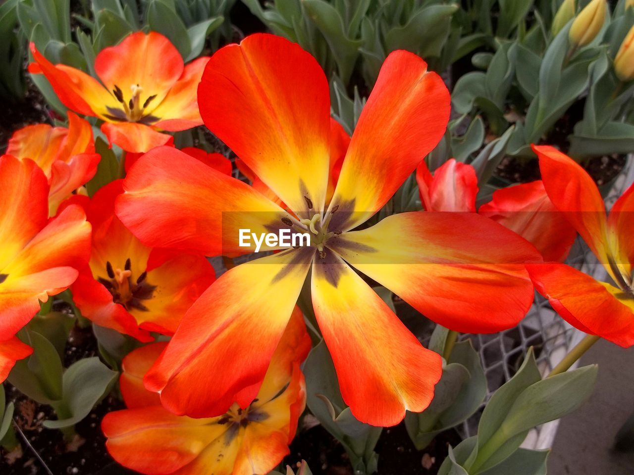 flower, petal, beauty in nature, fragility, flower head, freshness, growth, nature, blooming, orange color, plant, no people, day, outdoors, close-up, day lily