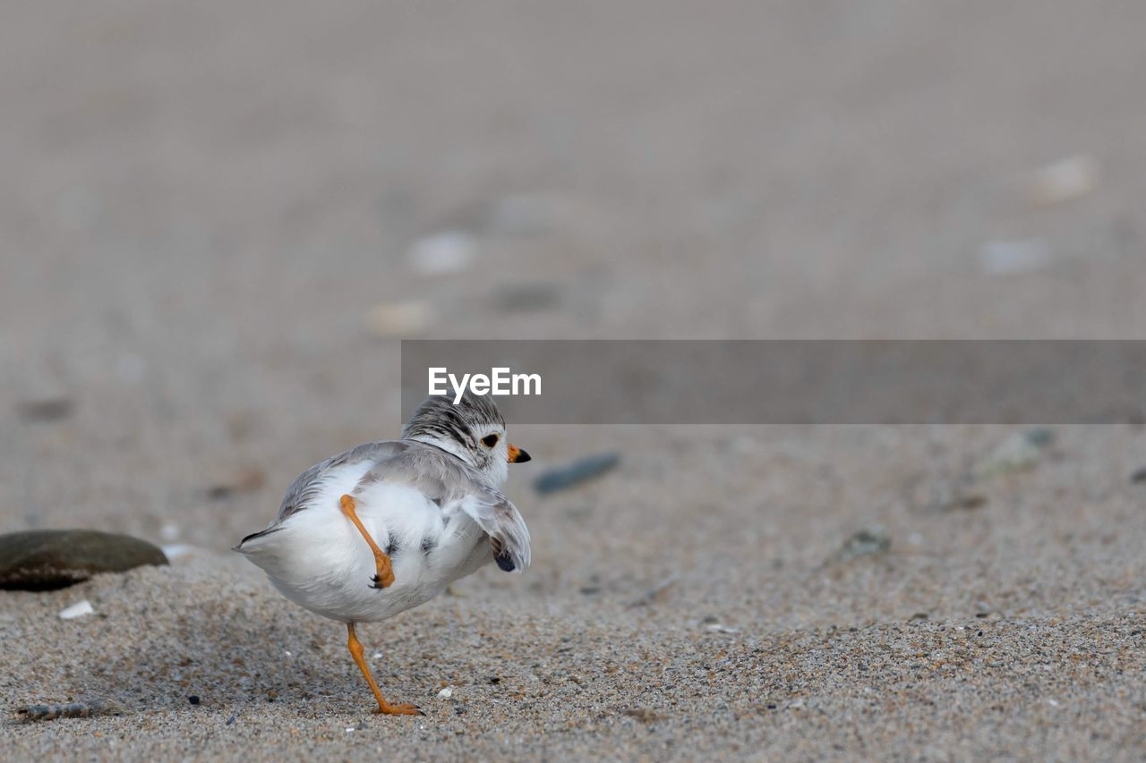 animal, animal themes, bird, animal wildlife, one animal, animals in the wild, vertebrate, day, no people, land, nature, focus on foreground, outdoors, close-up, selective focus, sand, eating, zoology, perching, seagull