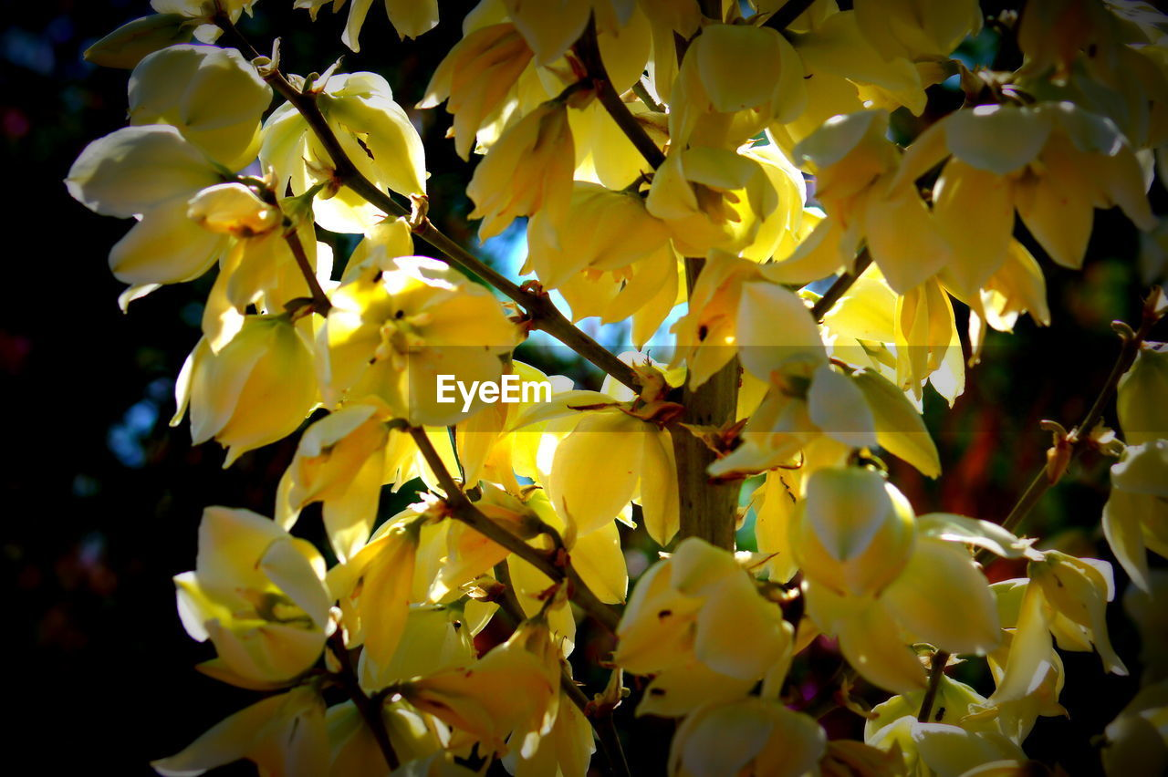 growth, tree, flower, beauty in nature, yellow, freshness, blossom, nature, fragility, springtime, branch, orchard, botany, no people, twig, petal, day, outdoors, low angle view, close-up, fruit, flower head