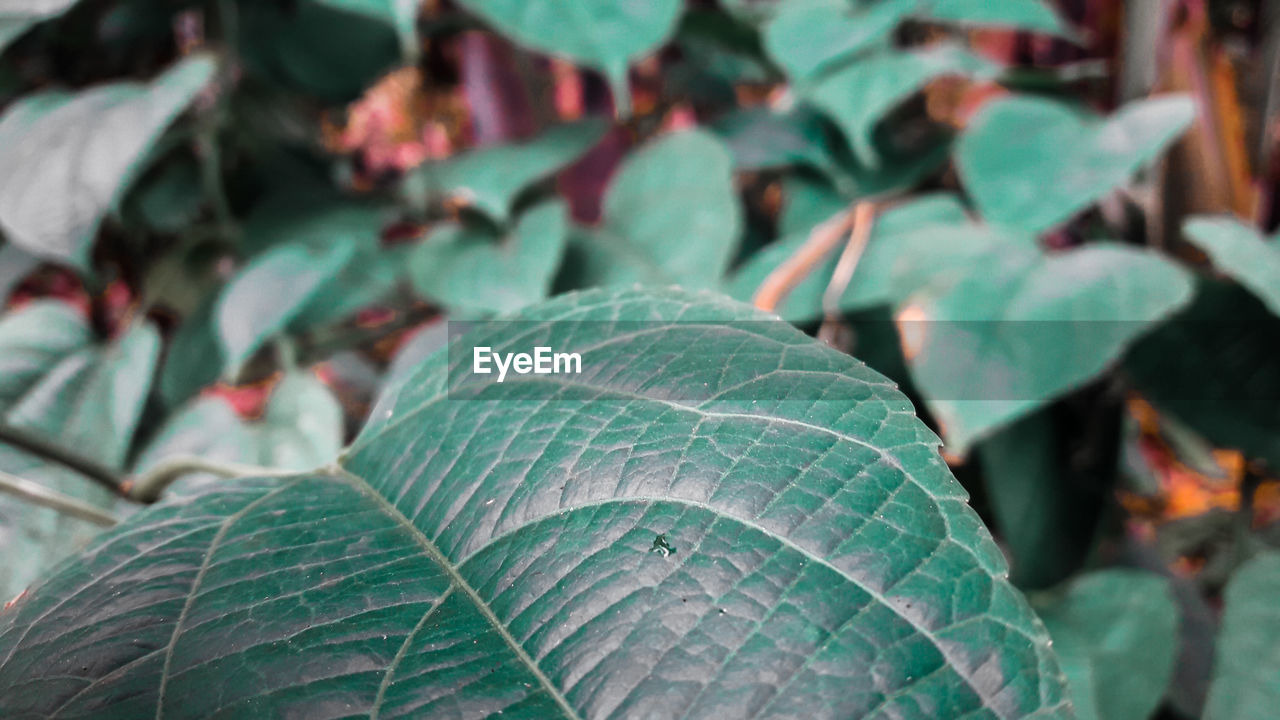 leaf, plant part, close-up, focus on foreground, plant, growth, nature, day, beauty in nature, green color, no people, outdoors, freshness, leaf vein, food, healthy eating, botany, food and drink, vulnerability, fragility, leaves