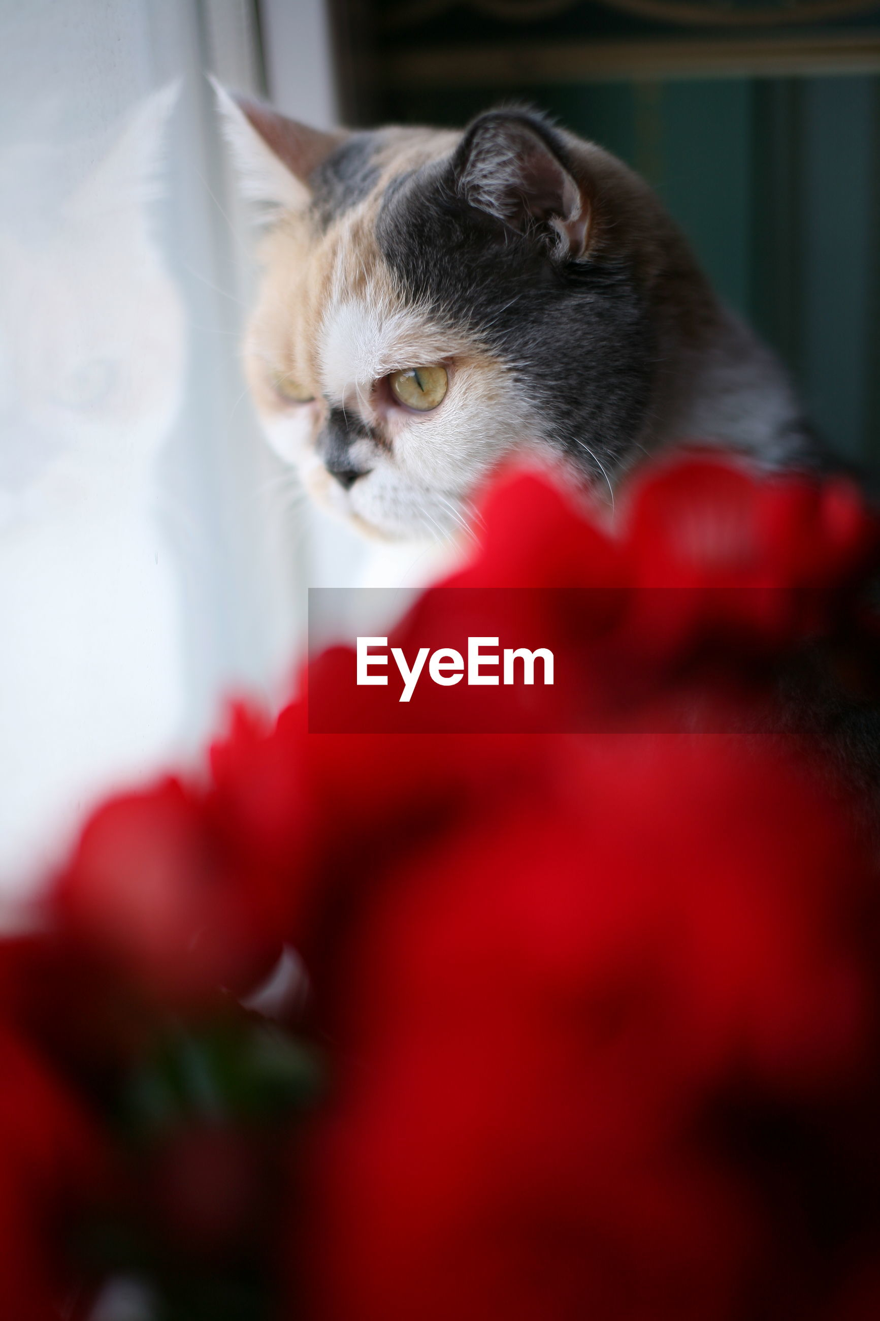 domestic, pets, domestic animals, mammal, cat, domestic cat, animal, feline, animal themes, one animal, vertebrate, red, selective focus, no people, indoors, close-up, relaxation, home interior, looking, portrait, animal head, whisker