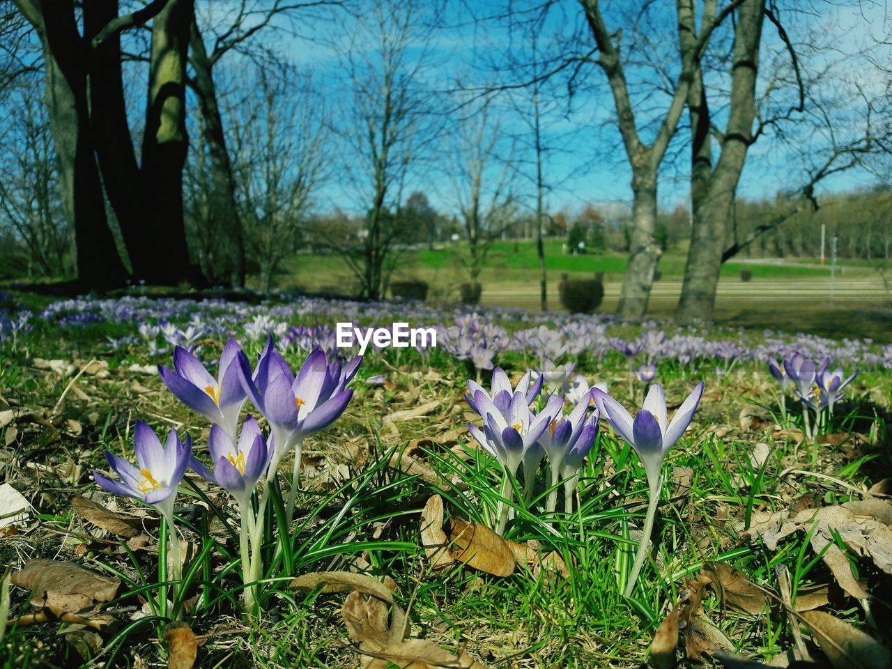 flower, growth, beauty in nature, nature, petal, fragility, freshness, field, day, purple, focus on foreground, crocus, flower head, outdoors, no people, tree, blooming, close-up, sky