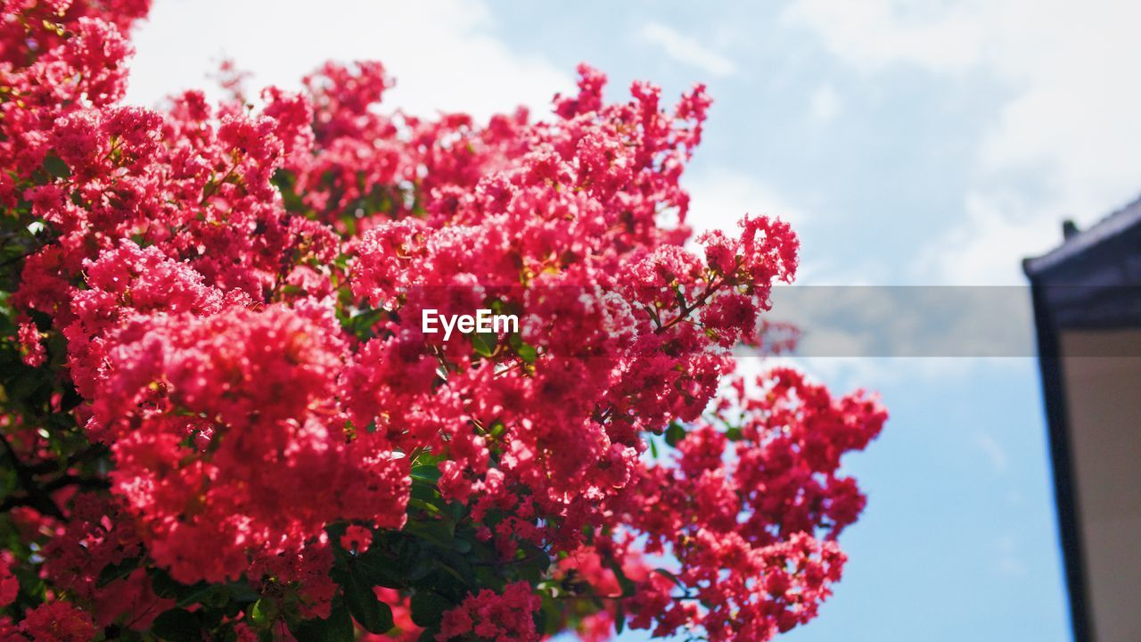 flower, beauty in nature, nature, growth, fragility, freshness, petal, no people, red, low angle view, plant, sky, pink color, day, blooming, outdoors, flower head, close-up