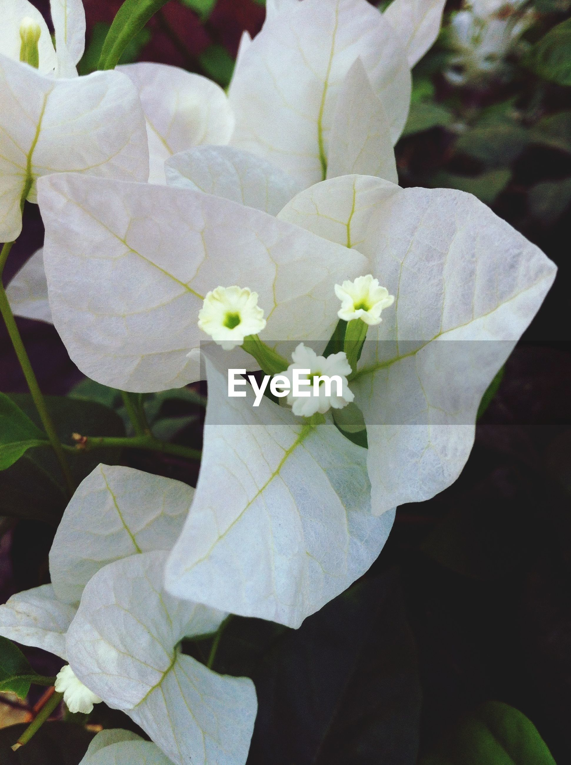 flower, petal, freshness, fragility, white color, flower head, growth, leaf, beauty in nature, close-up, nature, blooming, plant, focus on foreground, in bloom, stamen, single flower, pollen, blossom, white