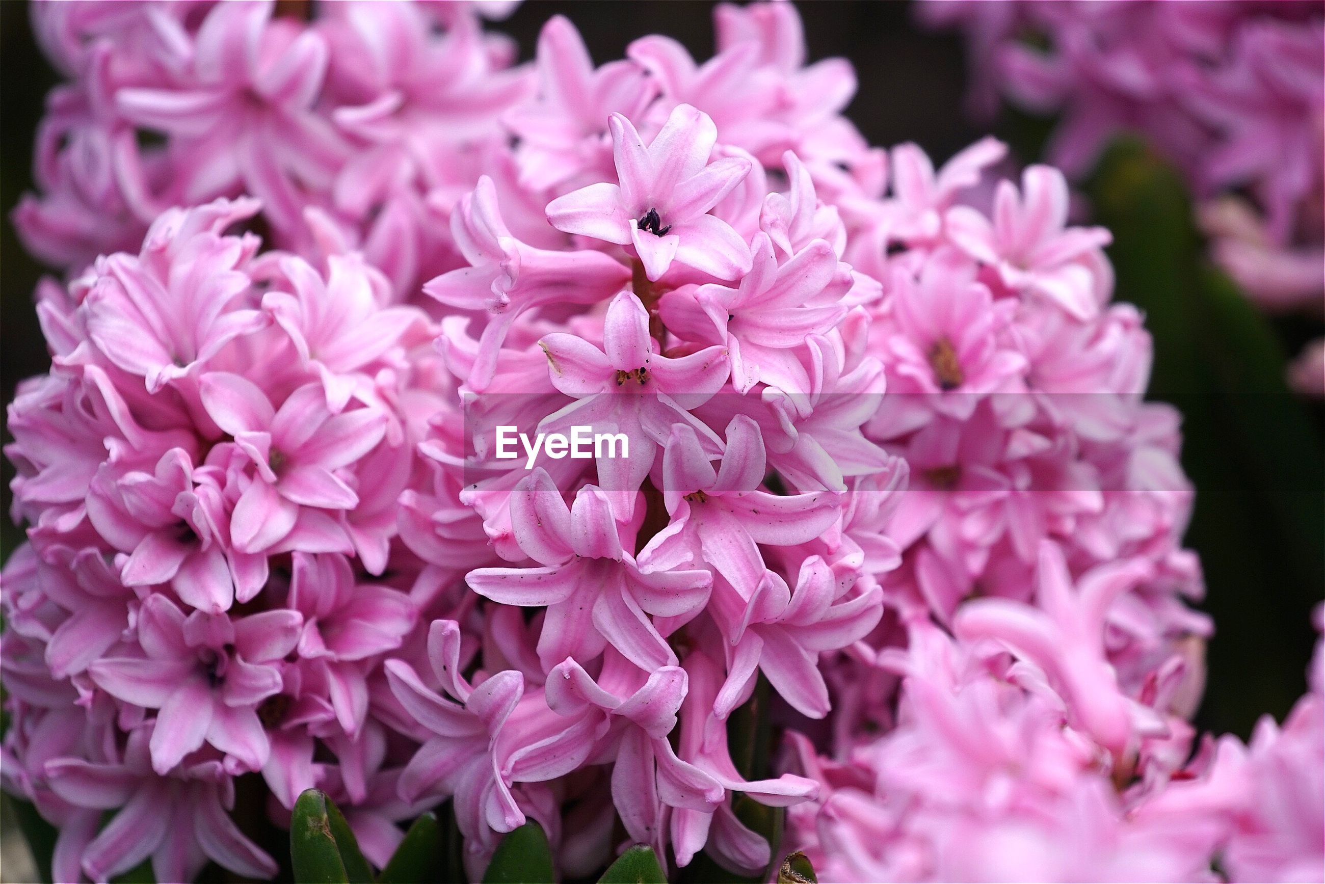 Close-up of pink hyacinths blooming outdoors