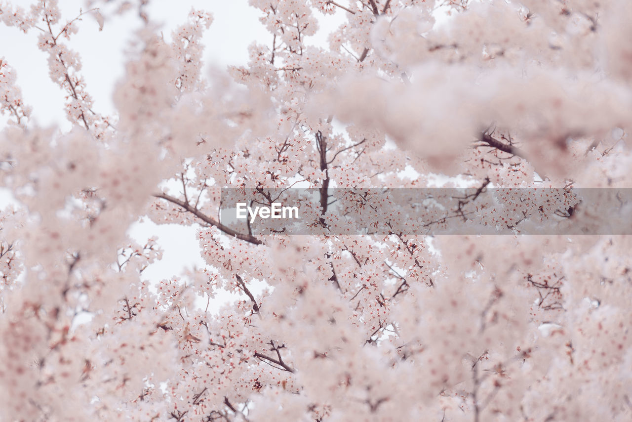 backgrounds, blossom, cherry blossom, tree, beauty in nature, pink color, fragility, flowering plant, plant, flower, close-up, nature, no people, full frame, day, growth, branch, vulnerability, springtime, cherry tree, outdoors, softness