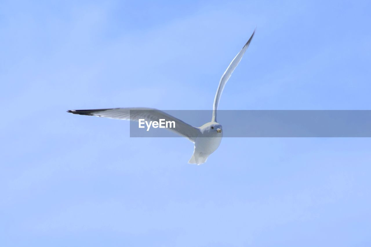 animal wildlife, animals in the wild, bird, flying, vertebrate, animal themes, animal, spread wings, one animal, sky, low angle view, mid-air, no people, motion, blue, seagull, white color, day, clear sky, nature