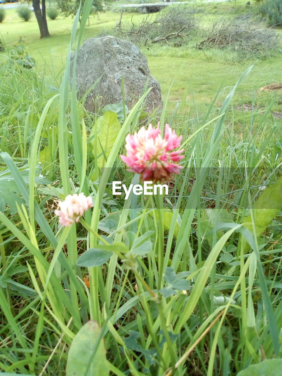 plant, flower, flowering plant, growth, beauty in nature, freshness, fragility, vulnerability, green color, nature, close-up, field, land, pink color, grass, flower head, day, inflorescence, petal, no people, outdoors, springtime, blade of grass