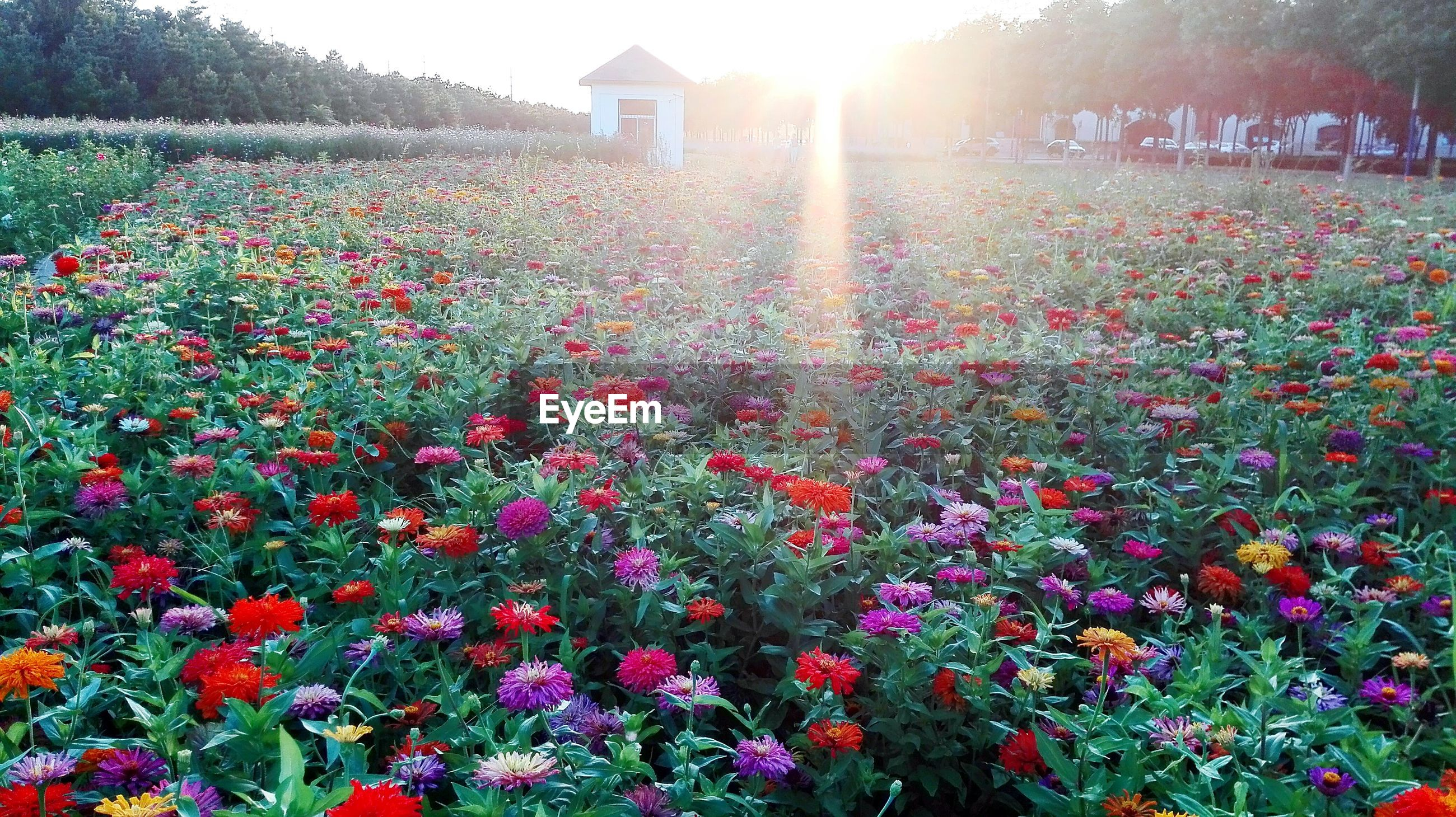 flower, growth, freshness, plant, beauty in nature, sunlight, nature, fragility, blooming, petal, sun, in bloom, sunbeam, flowerbed, red, tree, outdoors, lens flare, park - man made space, abundance