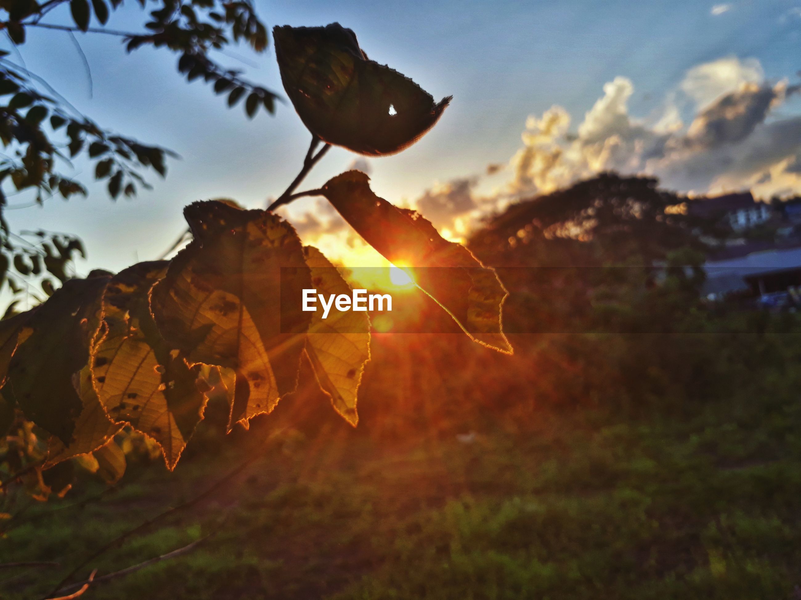 CLOSE-UP OF AUTUMNAL LEAVES AGAINST SUNSET SKY