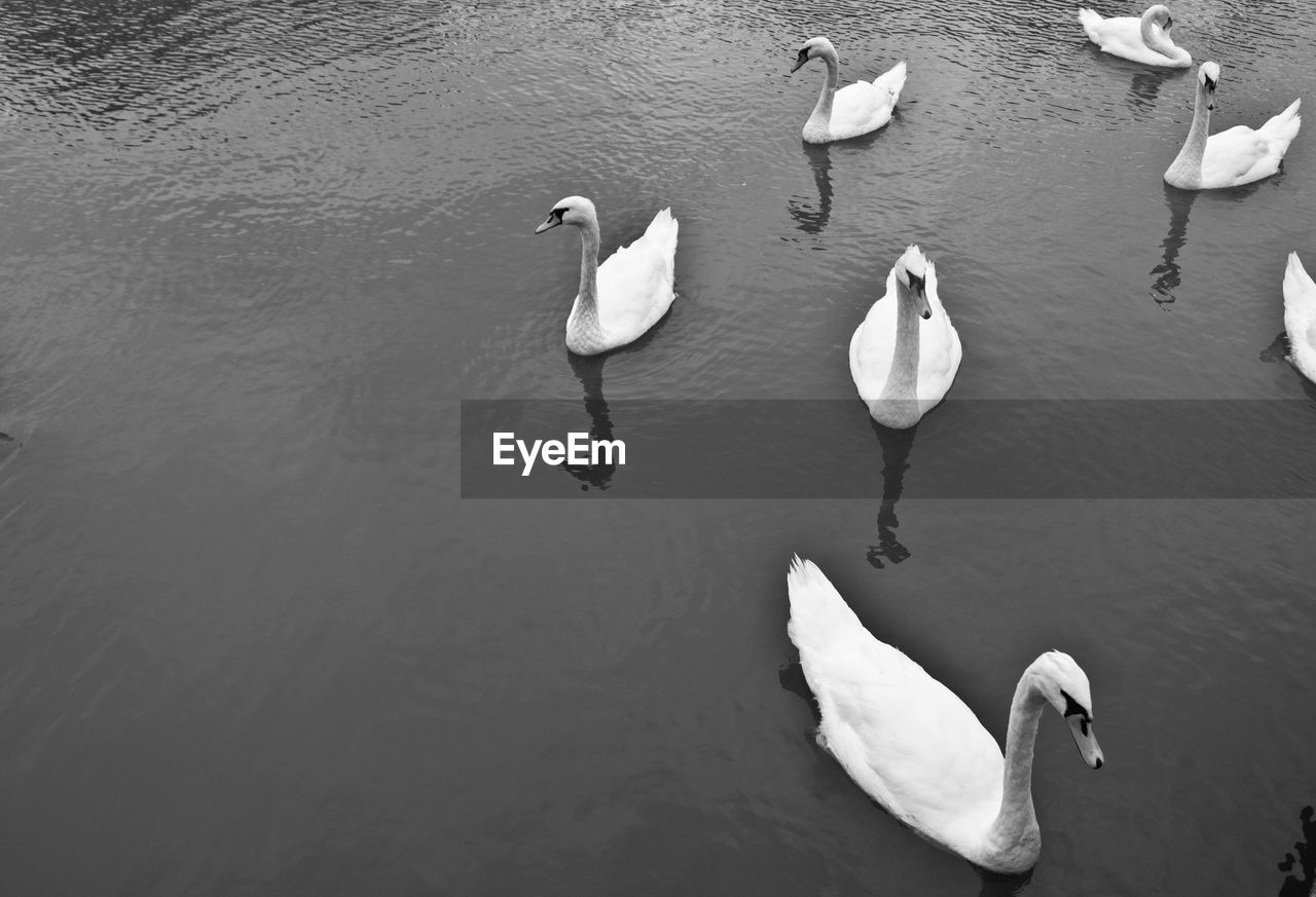 animal wildlife, animals in the wild, animal themes, animal, bird, group of animals, vertebrate, water, lake, swan, swimming, high angle view, water bird, white color, day, nature, no people, zoology, beauty in nature, floating on water, cygnet, freshwater bird, flock of birds