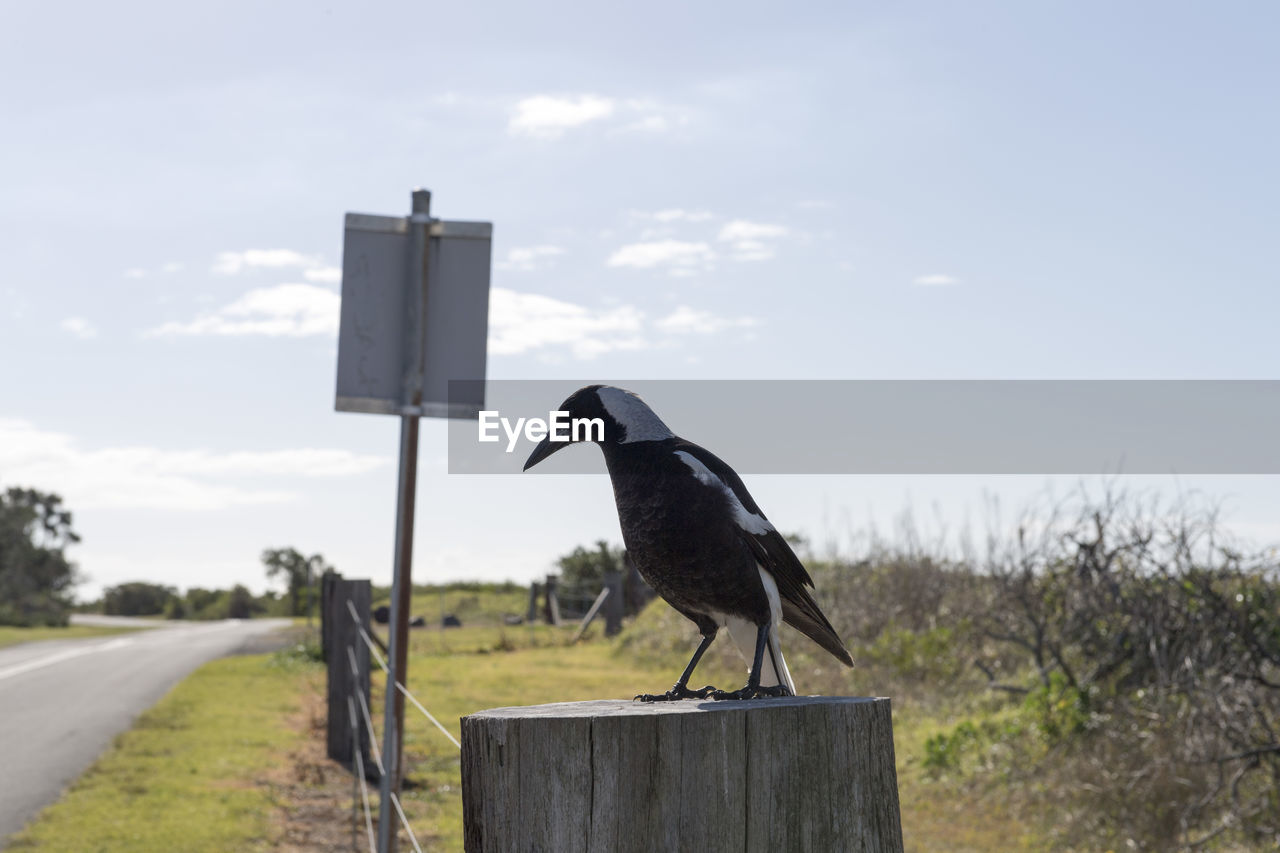 animal, animal themes, vertebrate, bird, animal wildlife, one animal, animals in the wild, sky, day, nature, perching, focus on foreground, no people, cloud - sky, black color, outdoors, full length, road, wood - material, side view, wooden post
