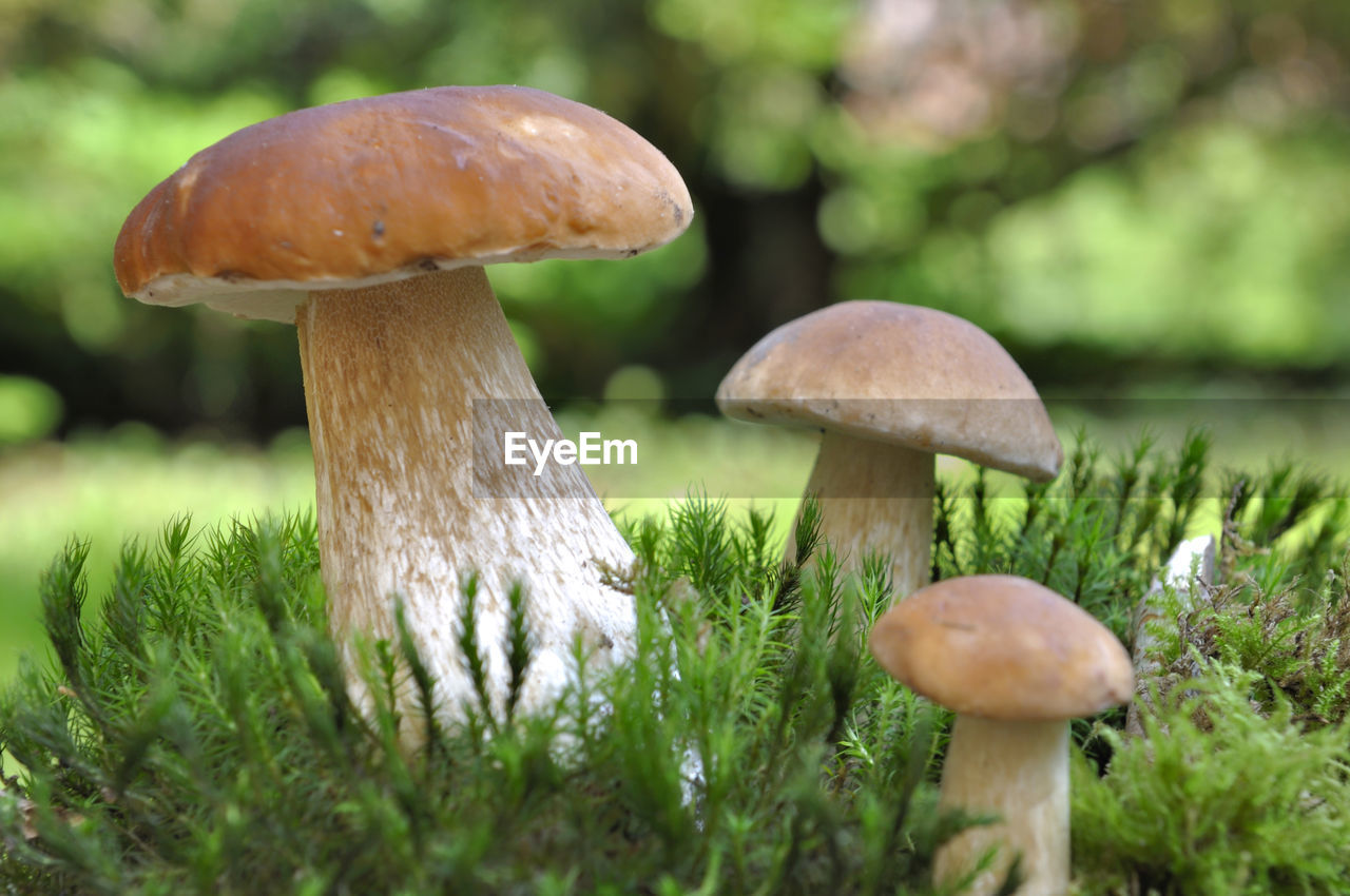mushroom, fungus, food, vegetable, growth, plant, toadstool, land, edible mushroom, close-up, no people, selective focus, nature, freshness, day, beauty in nature, field, fly agaric mushroom, focus on foreground, green color, outdoors, surface level
