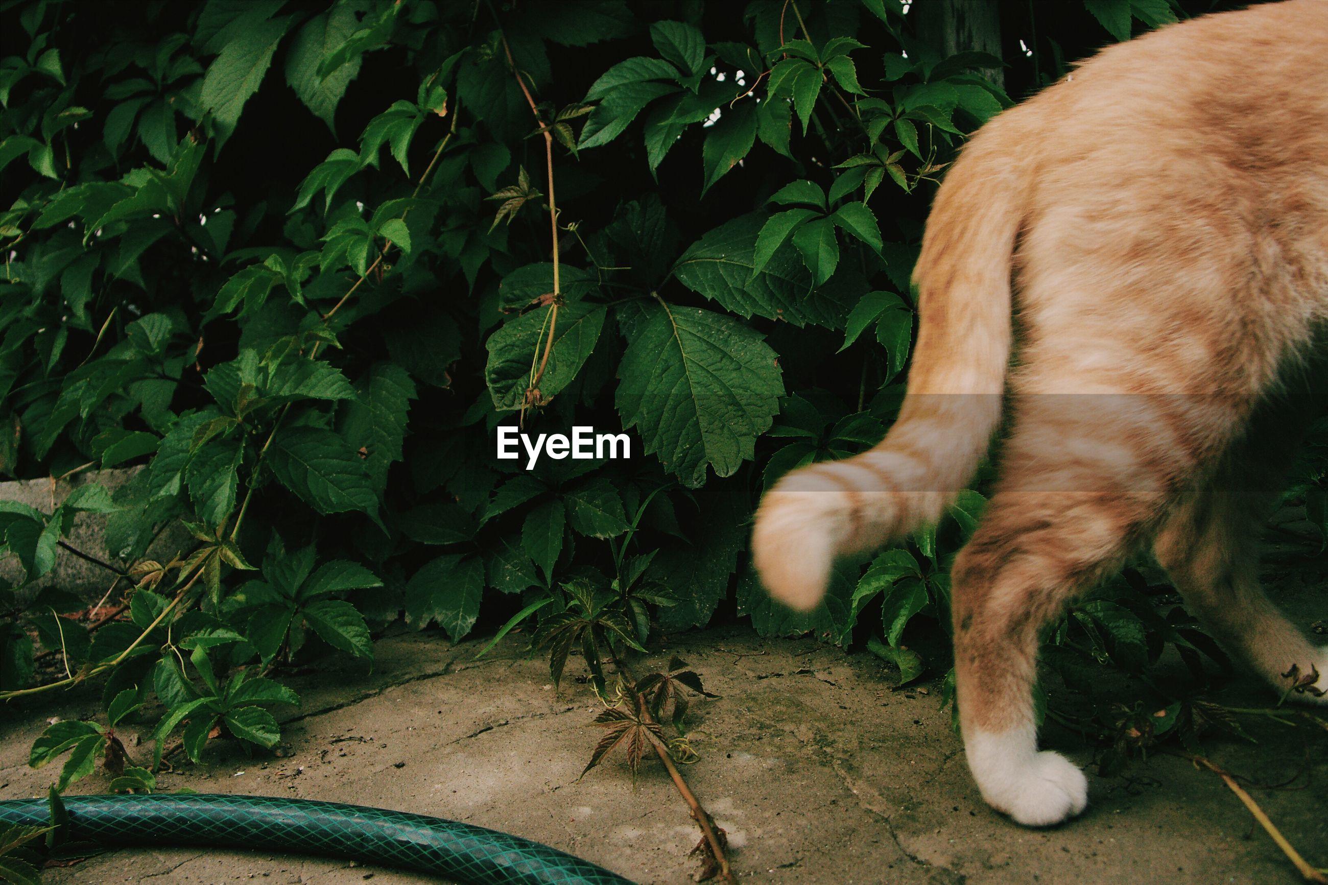 Rear end of ginger cat