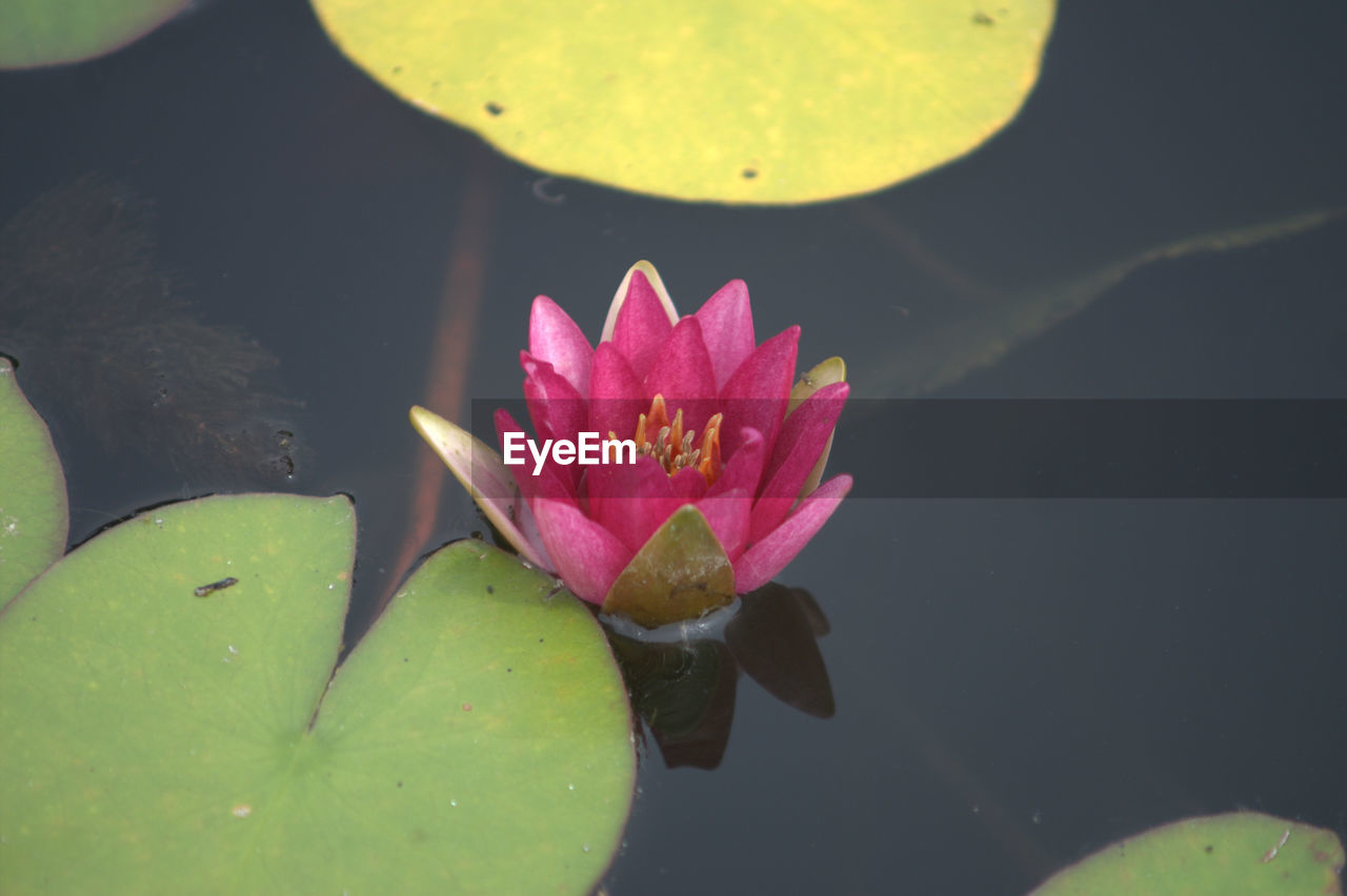 water lily, pond, beauty in nature, lotus water lily, nature, flower, leaf, water, pink color, petal, lotus, freshness, fragility, floating on water, growth, plant, lily pad, no people, flower head, green color, close-up, day, outdoors