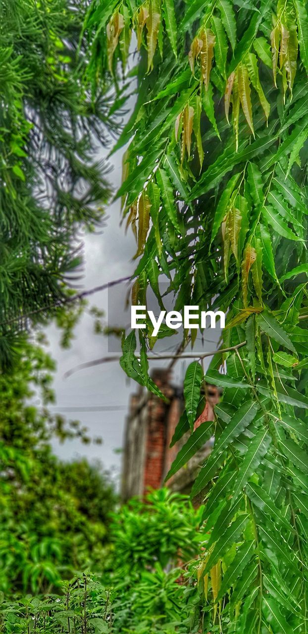 green color, plant, growth, nature, beauty in nature, leaf, plant part, no people, day, tree, focus on foreground, close-up, outdoors, branch, tranquility, freshness, water, land, wet, pine tree, coniferous tree, bamboo - plant