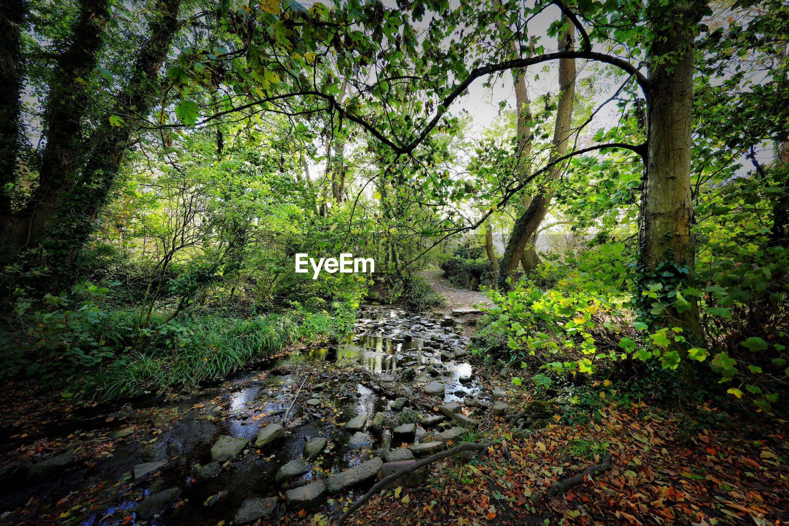 STREAM FLOWING THROUGH TREES IN FOREST
