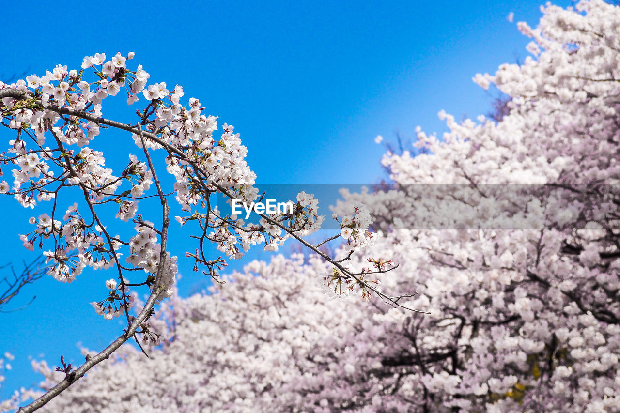 flower, flowering plant, fragility, plant, springtime, vulnerability, blossom, low angle view, beauty in nature, growth, branch, sky, tree, freshness, nature, blue, cherry blossom, day, no people, clear sky, pink color, cherry tree, outdoors, flower head, spring, bunch of flowers