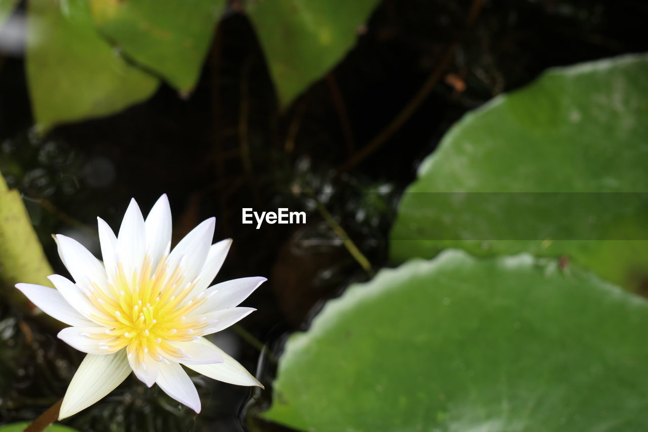 flower, nature, beauty in nature, leaf, fragility, growth, freshness, petal, flower head, plant, green color, water, close-up, outdoors, water lily, day, lotus water lily, no people, floating on water, blooming, lily pad