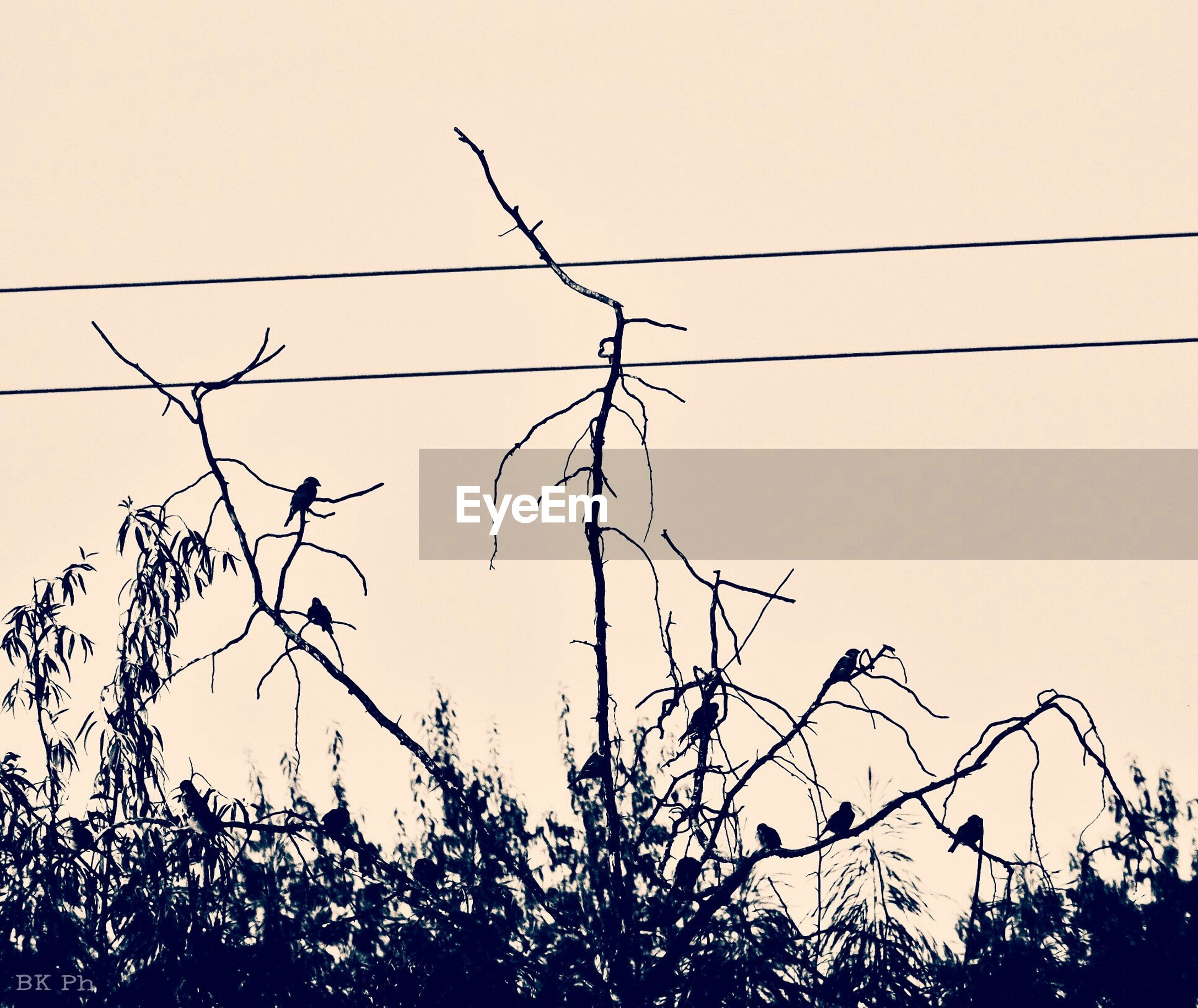 low angle view, clear sky, branch, silhouette, tree, bare tree, nature, bird, power line, twig, copy space, growth, perching, outdoors, tranquility, sky, no people, wildlife, plant, animal themes
