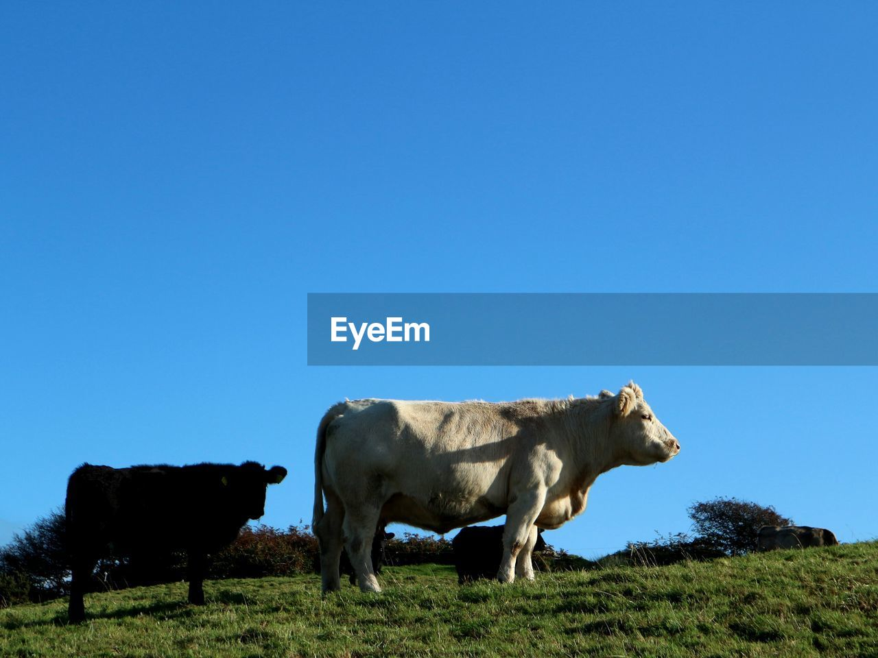 sky, animal, animal themes, mammal, livestock, cattle, copy space, domestic animals, domestic, clear sky, blue, field, pets, cow, grass, land, vertebrate, nature, landscape, no people, herbivorous