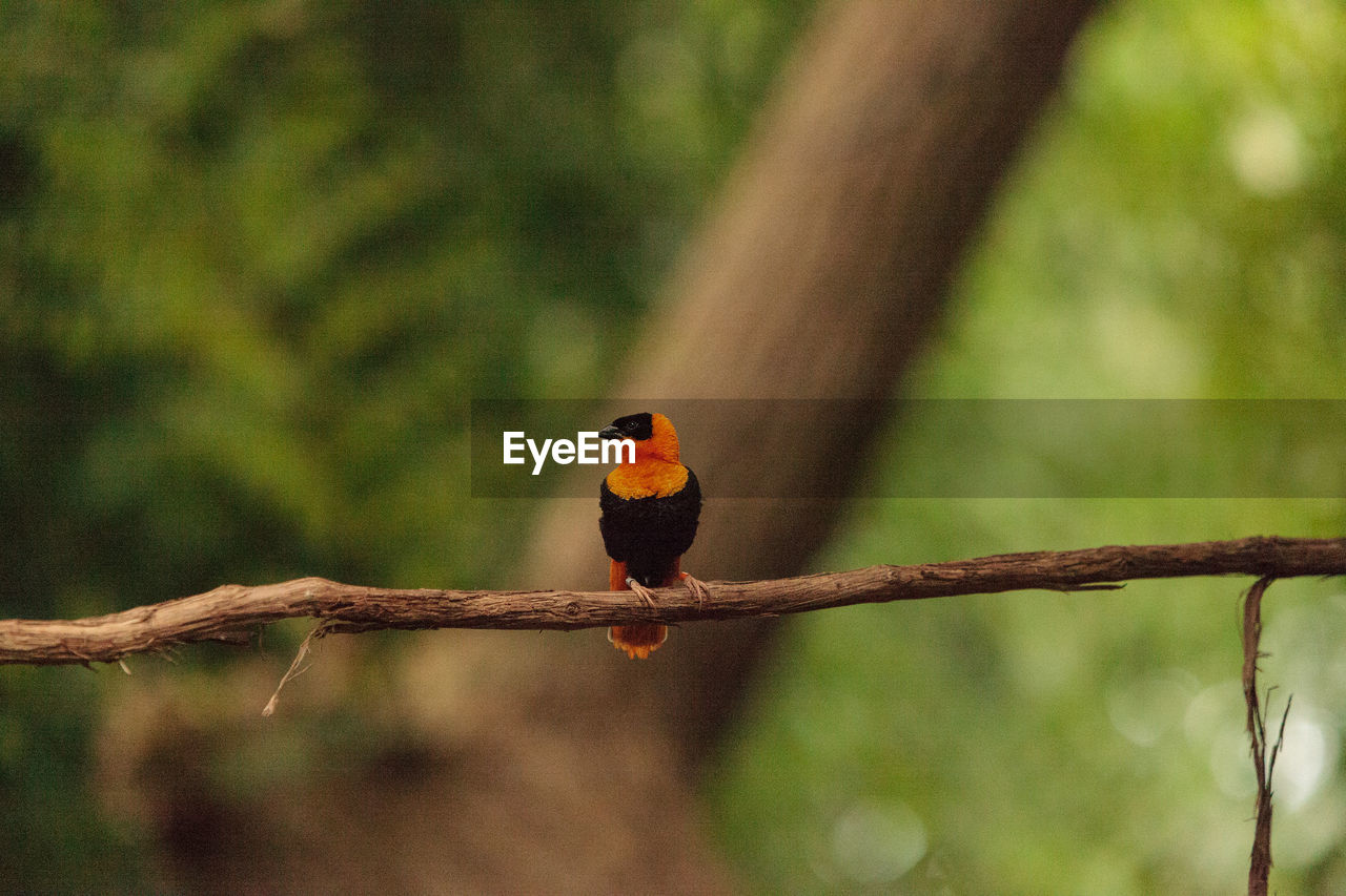 animal themes, animals in the wild, animal wildlife, animal, vertebrate, bird, one animal, perching, tree, branch, plant, focus on foreground, no people, day, nature, outdoors, orange color, beauty in nature, zoology, kingfisher, rainbow lorikeet